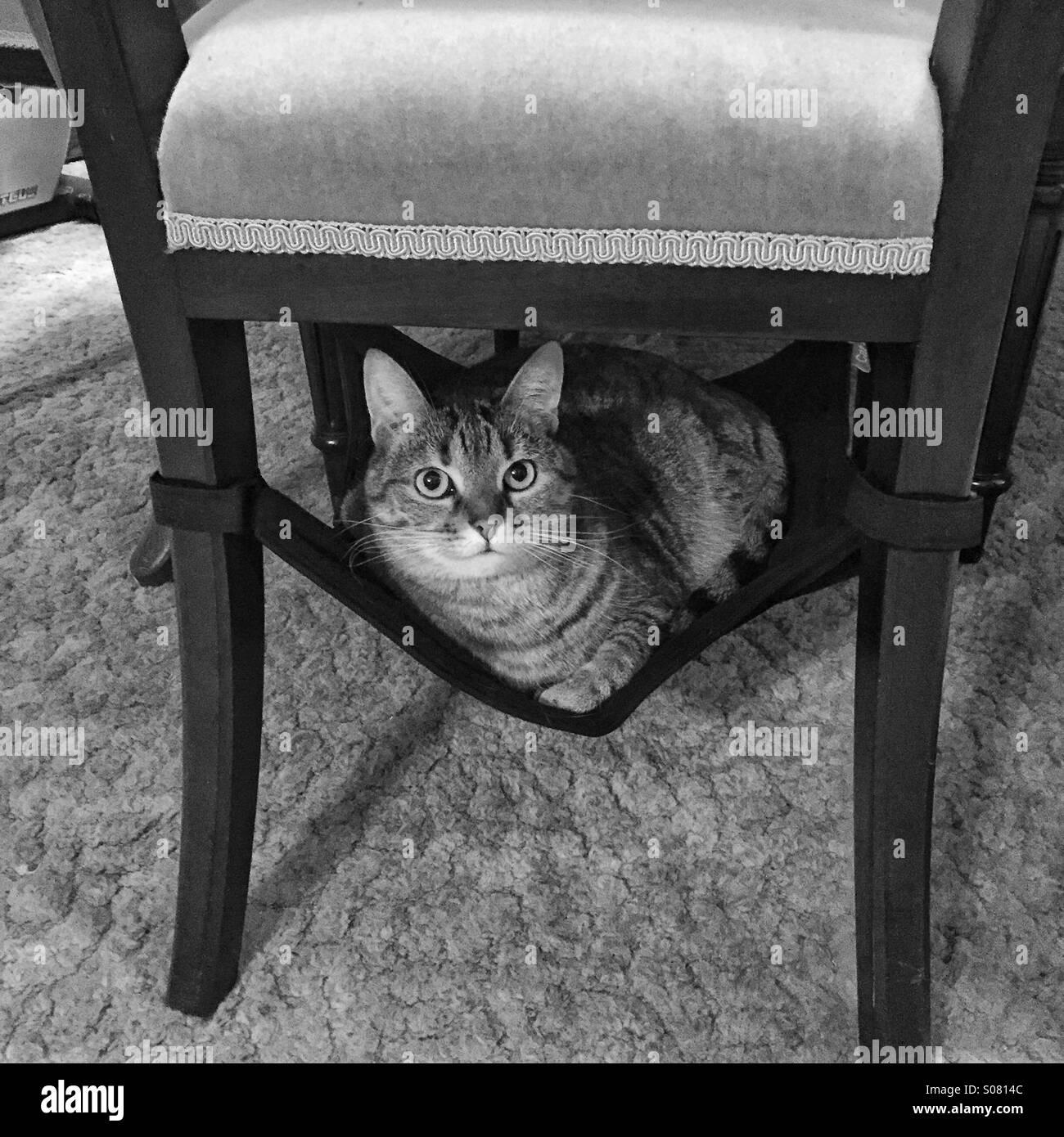 Cat in hammock - Stock Image