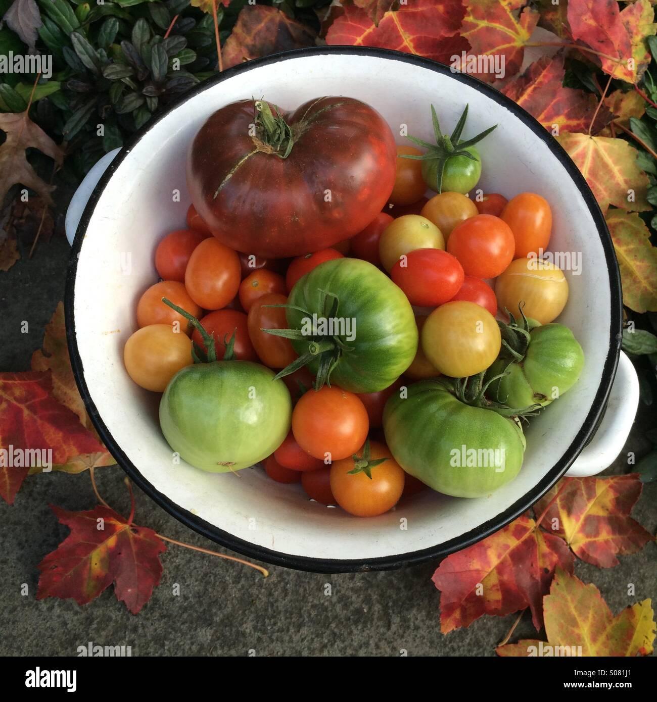 Last harvest of the season. Organic. Heirloom. Homegrown. Tomatoes. - Stock Image