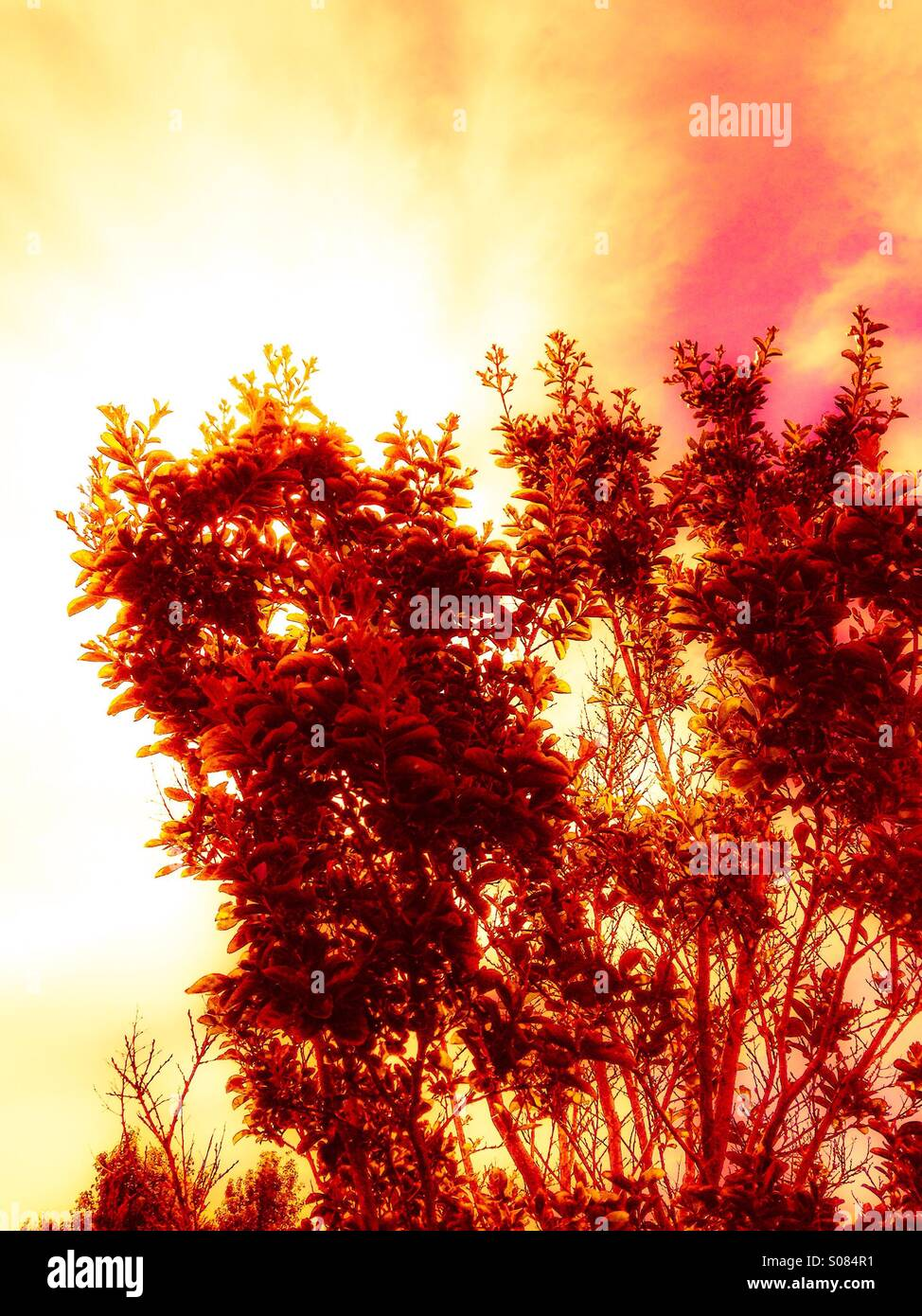 Tree branches with bright super saturation glow. Substantial digital processing. - Stock Image