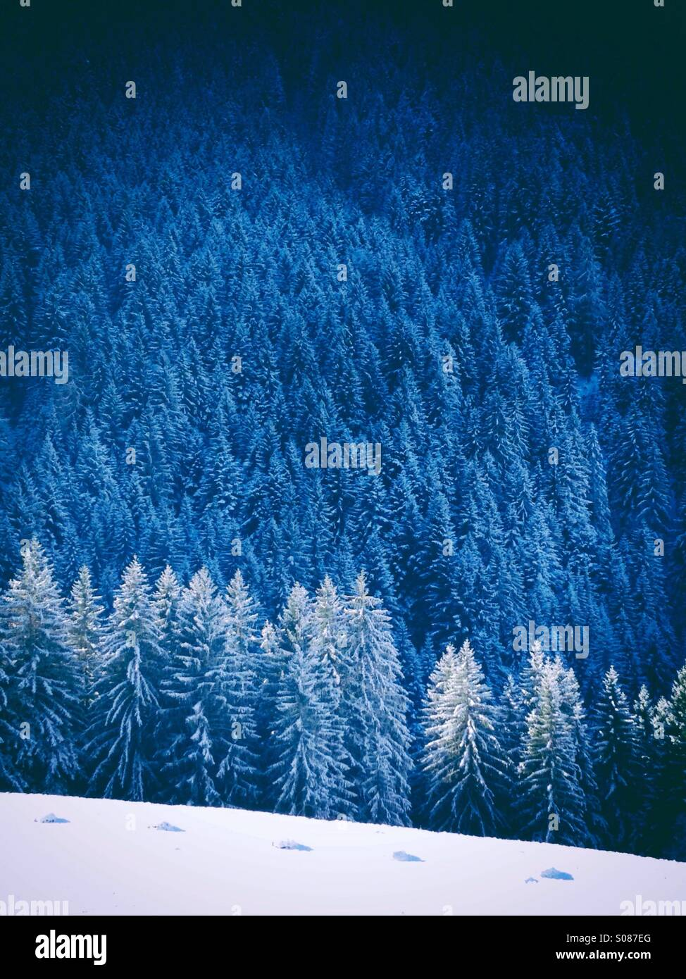 Fir trees covered by snow - Stock Image