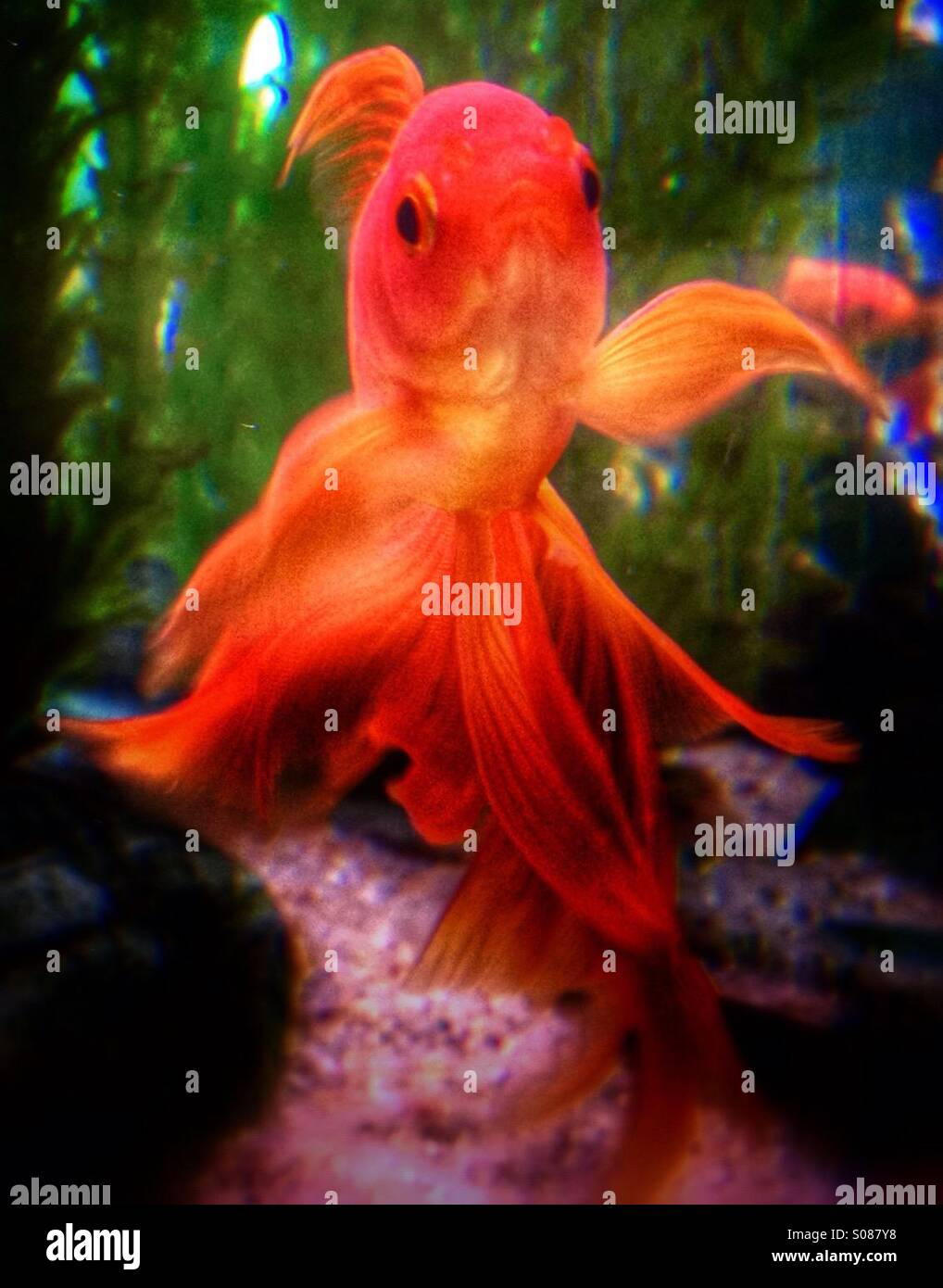 Gold Fish Color Stock Photos & Gold Fish Color Stock Images - Alamy