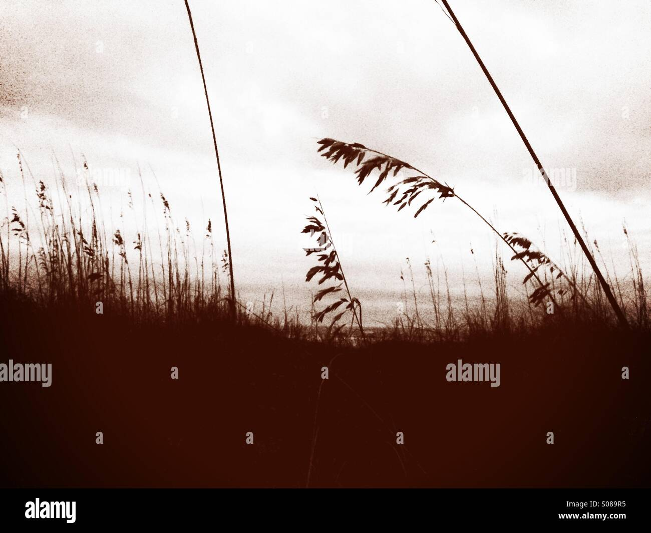 Sea oats are silhouetted against an overcast sky in this sepia-toned image. - Stock Image