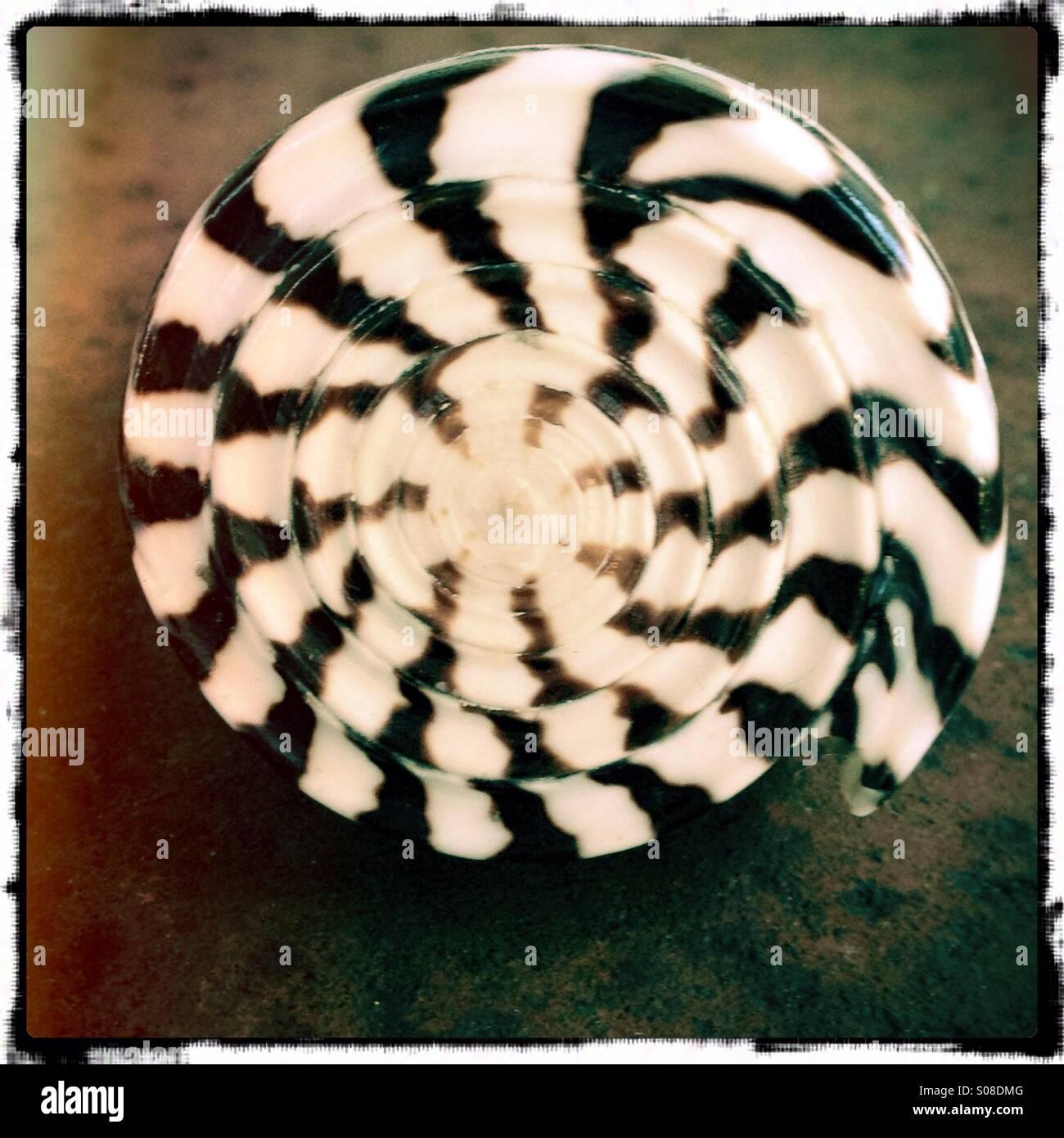 A black and white striped seashell stock photo 309973008 alamy
