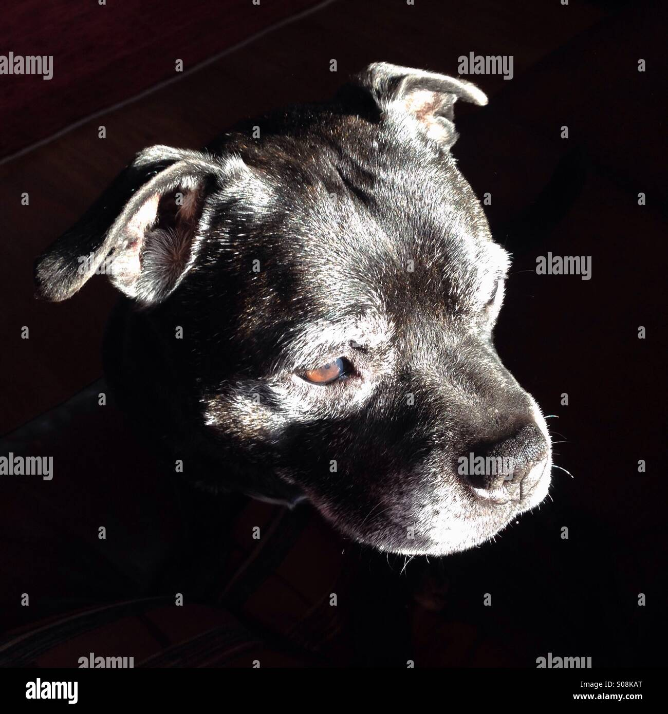 Staffordshire Bull Terrier dog lit by bright sunlight as he looks out of a window. - Stock Image