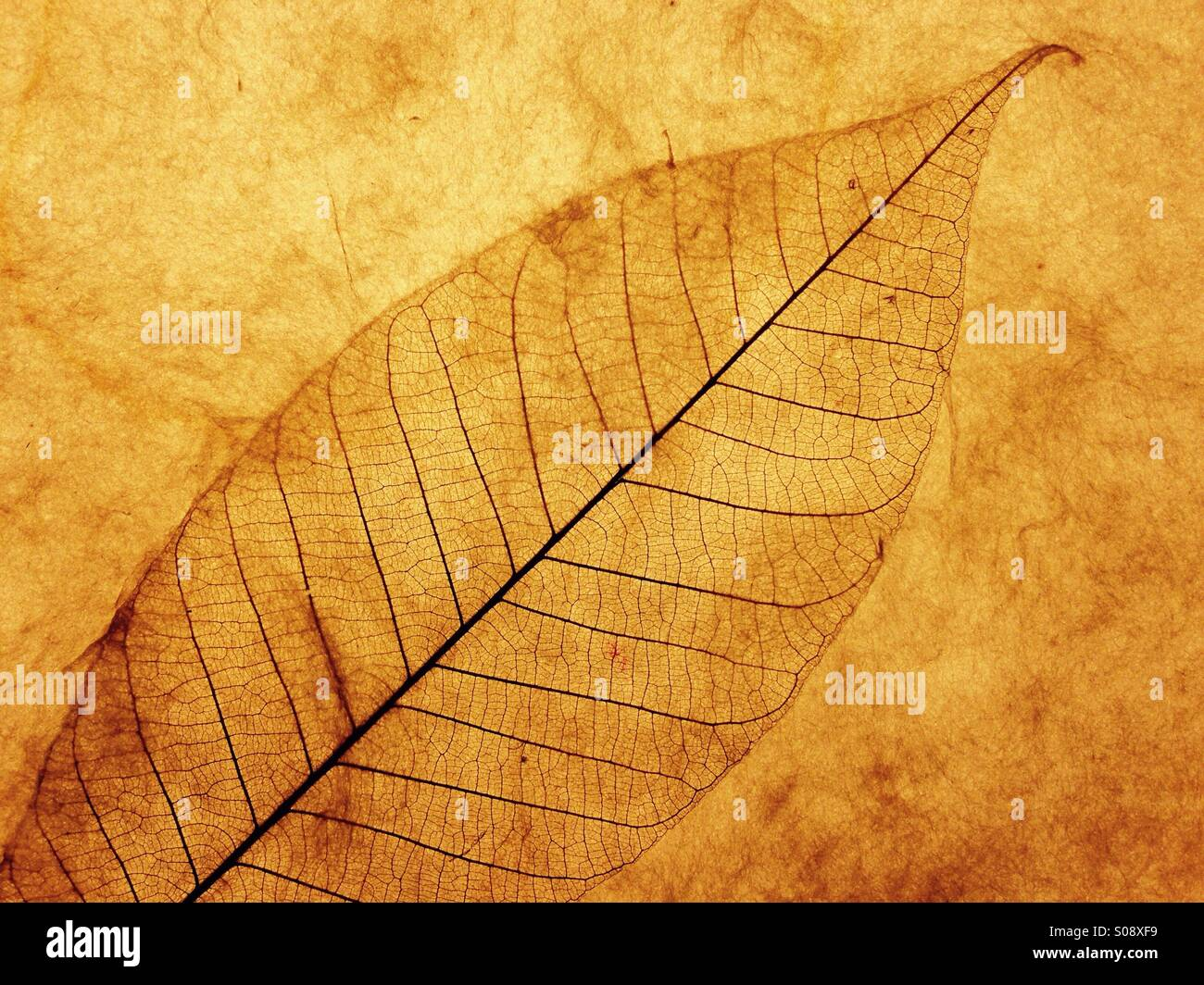 Backlit leaf on art paper. - Stock Image