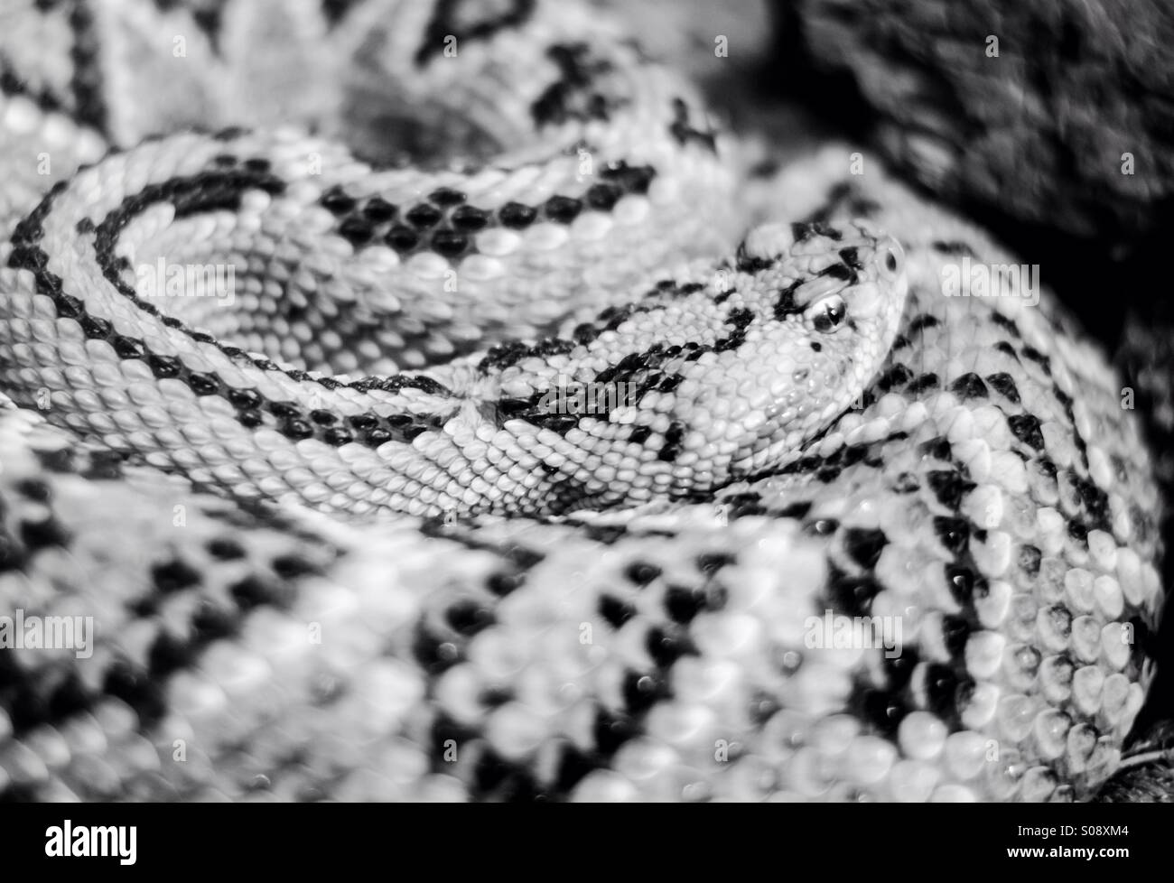 A snake in Puebla mexico - Stock Image