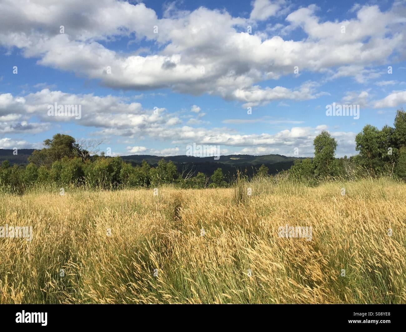 Wheat field, Victoria, Australia - Stock Image