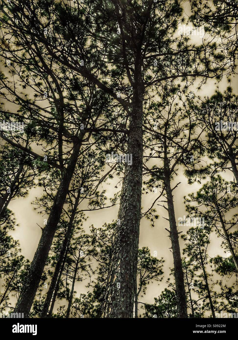 Monochromatic tall pine trees seen from below - Stock Image