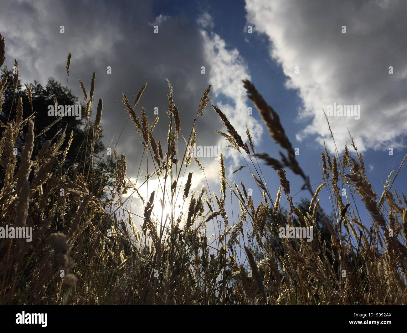 Wheat field, Australia Stock Photo