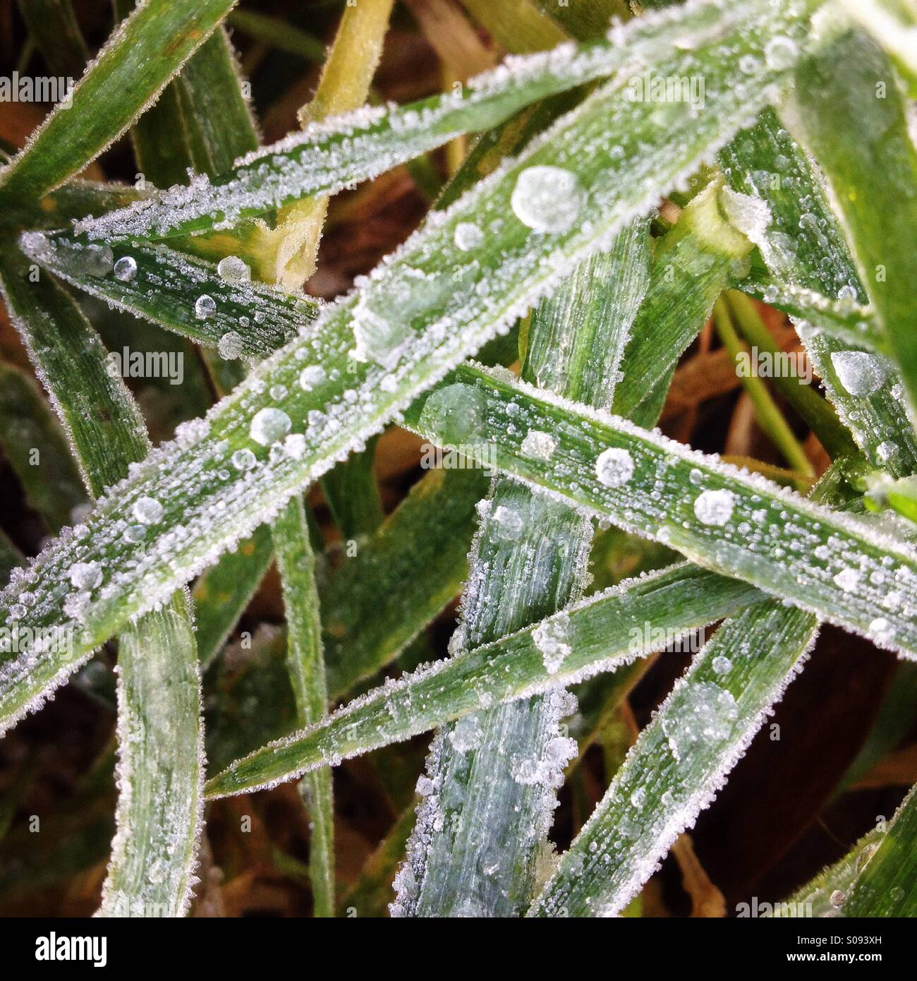 Close-up of ice on blades of grass - Stock Image