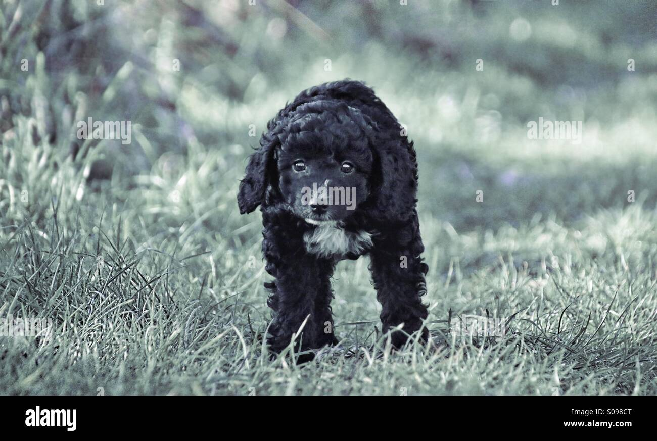 Puppy walking towards the camera - Stock Image