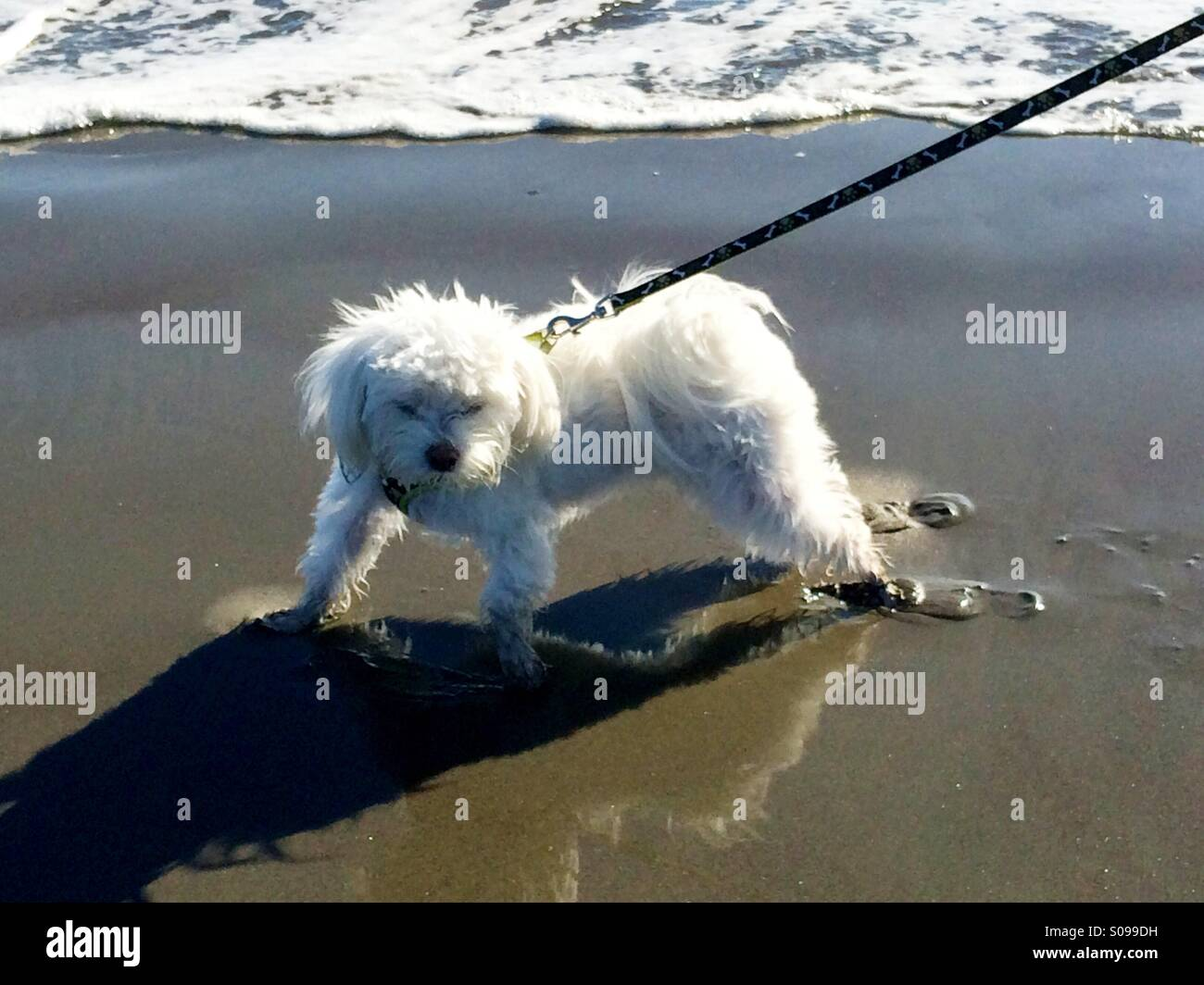 A white Maltese dog's first time at the ocean - Stock Image