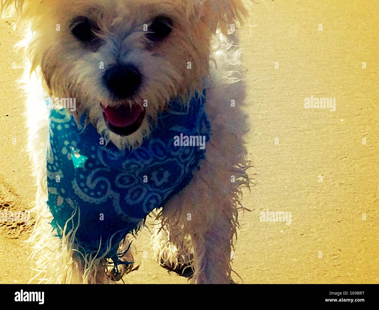 A white Maltese dog is dirty and exhausted after chasing birds on the beach - Stock Image