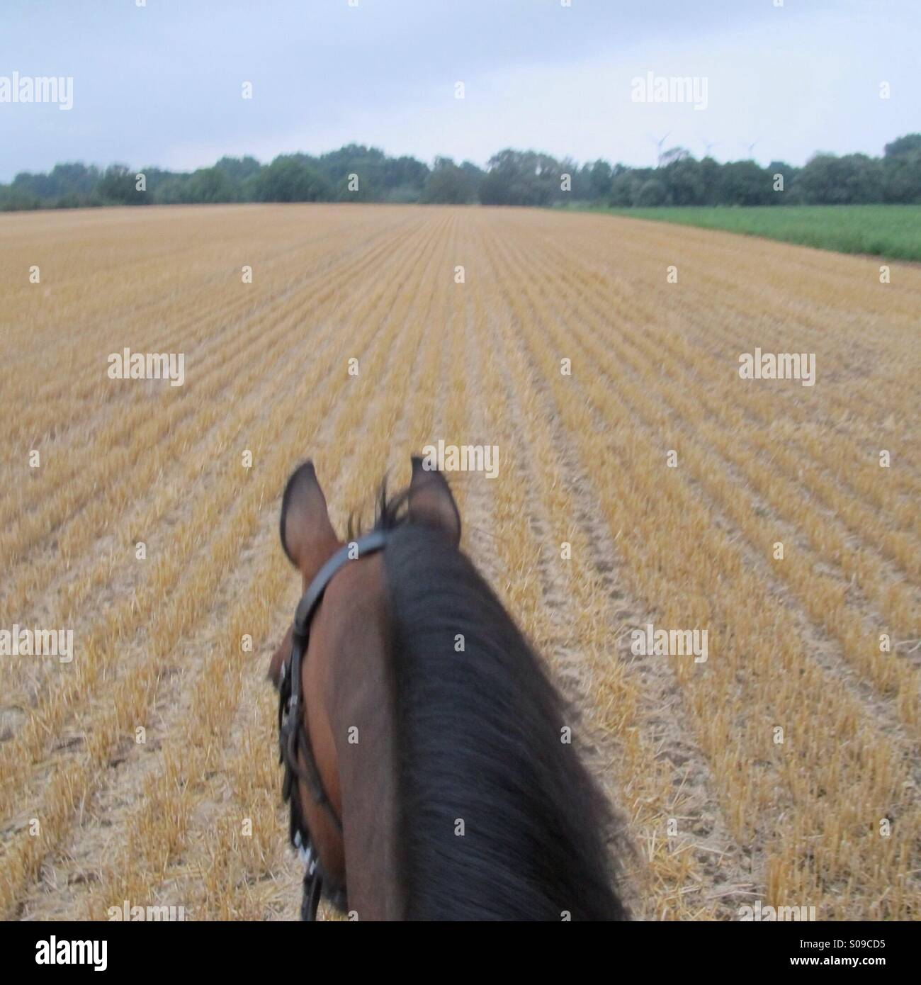 Horse riding through a stubble field - Stock Image