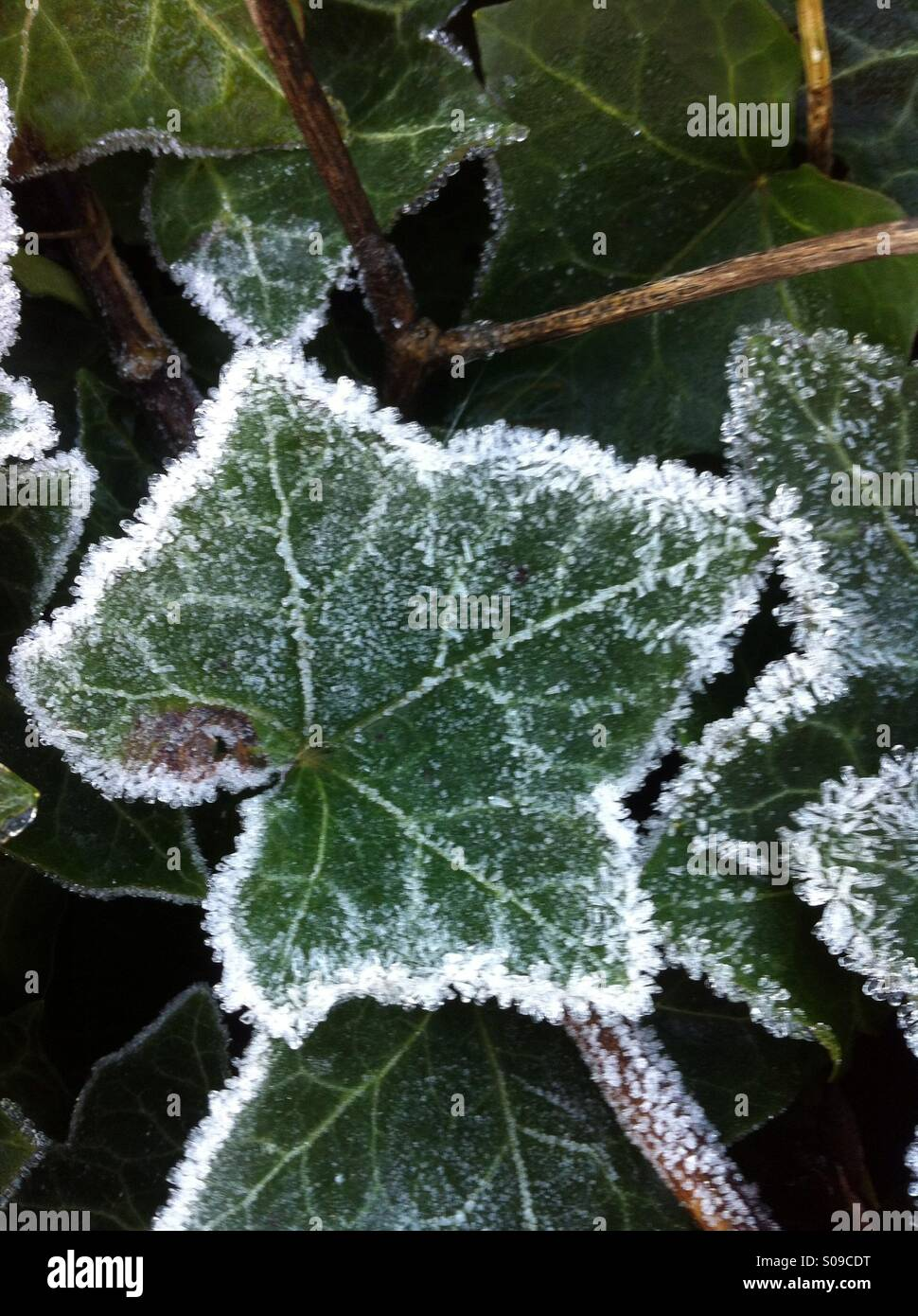 785 frozen ivy stock photos, vectors, and illustrations are available royalty-free.