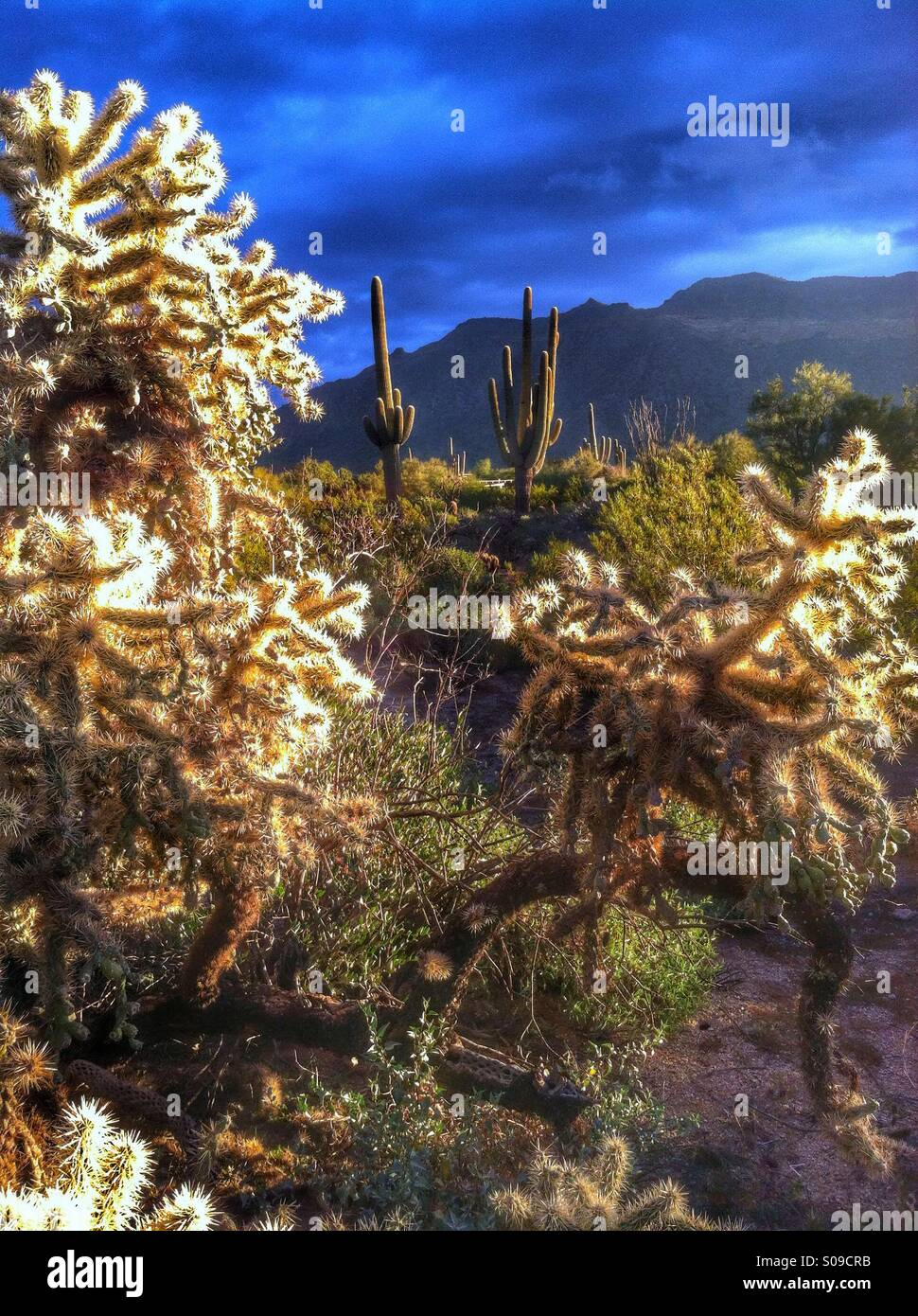Huge fruit-chain Chollas with large Saguaros in Sonoran Desert. East Mesa. Arizona. - Stock Image