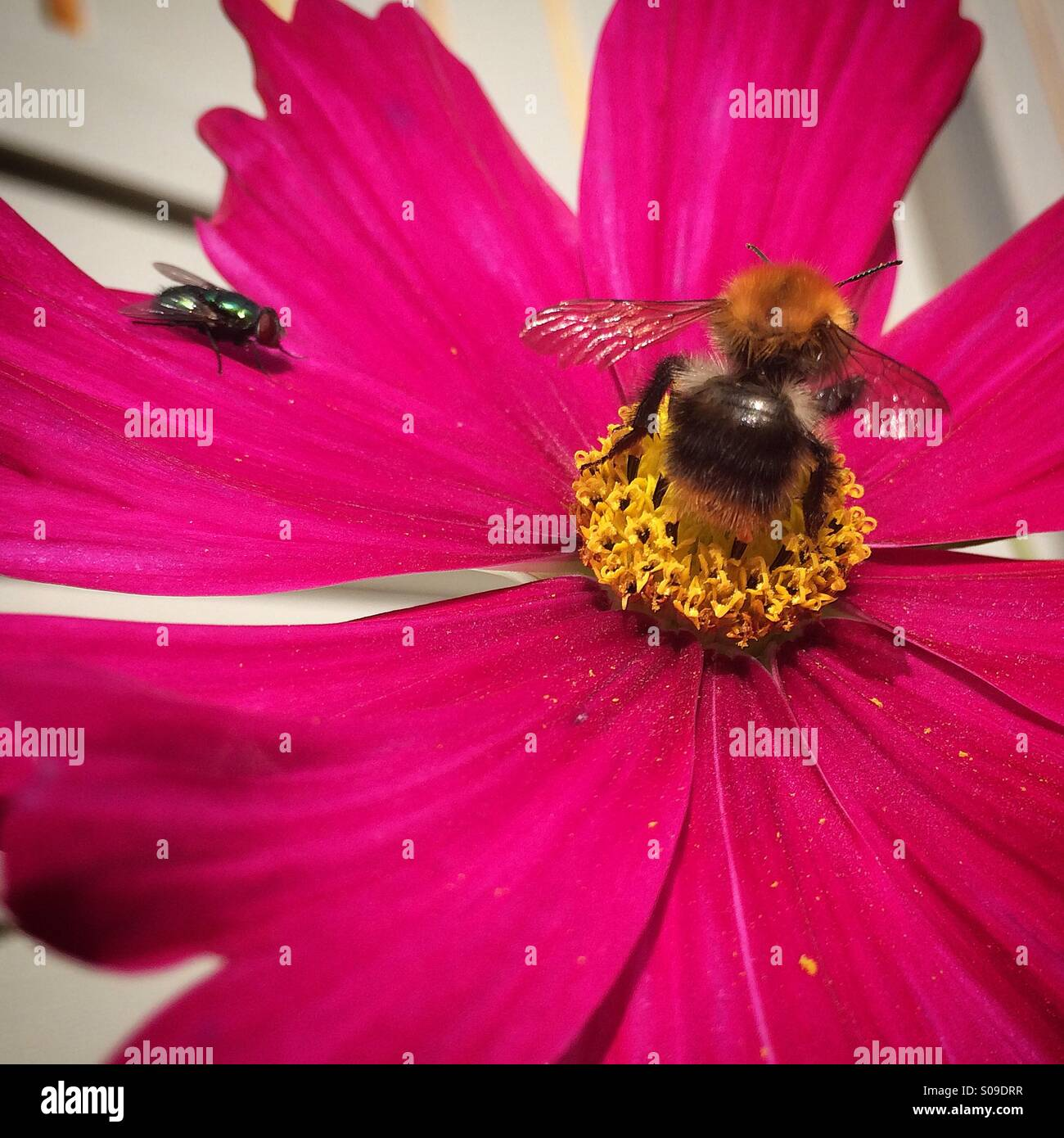 A bumblebee and fly in the summer Stock Photo