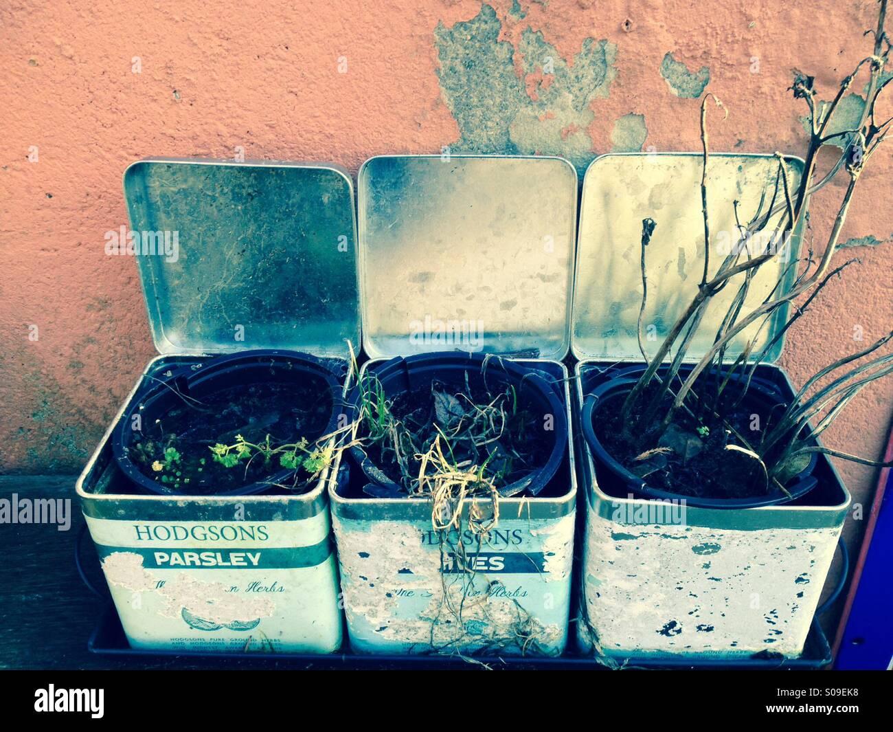 Dead herb plants, uk garden - Stock Image