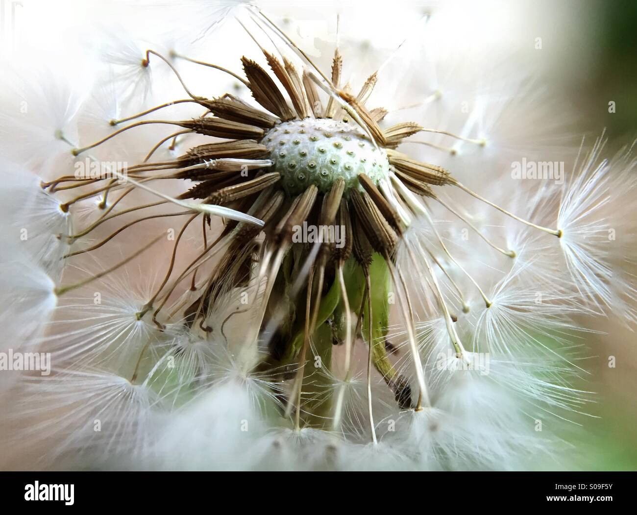 Macro of a Dandelion blown by the wind Stock Photo