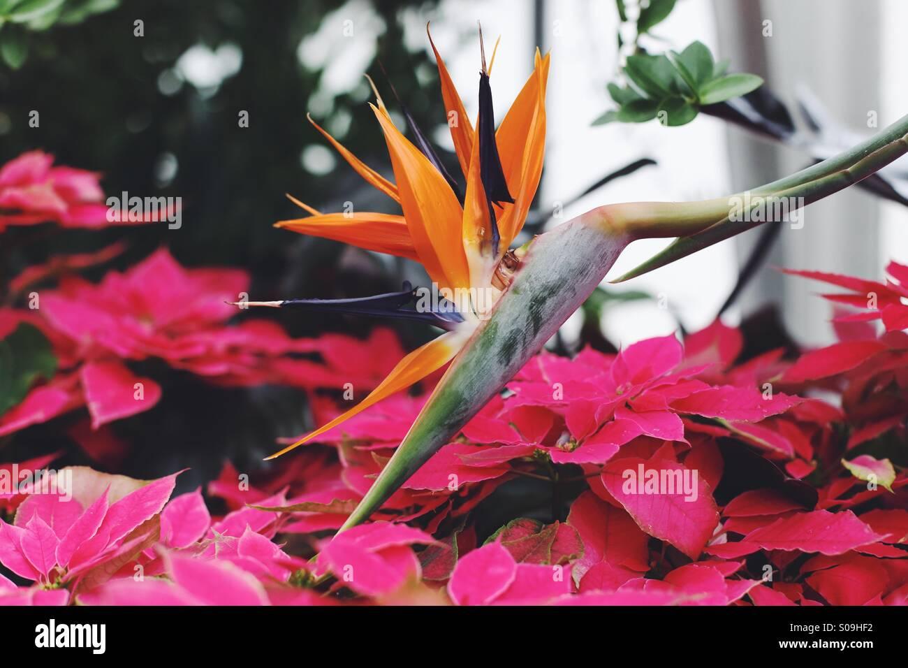 Bird of paradise at Biltmore - Stock Image