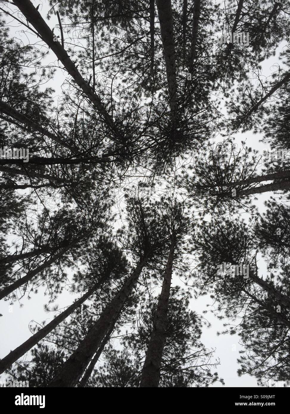 Evergreen trees directly overhead silhouetted against white sky - Stock Image