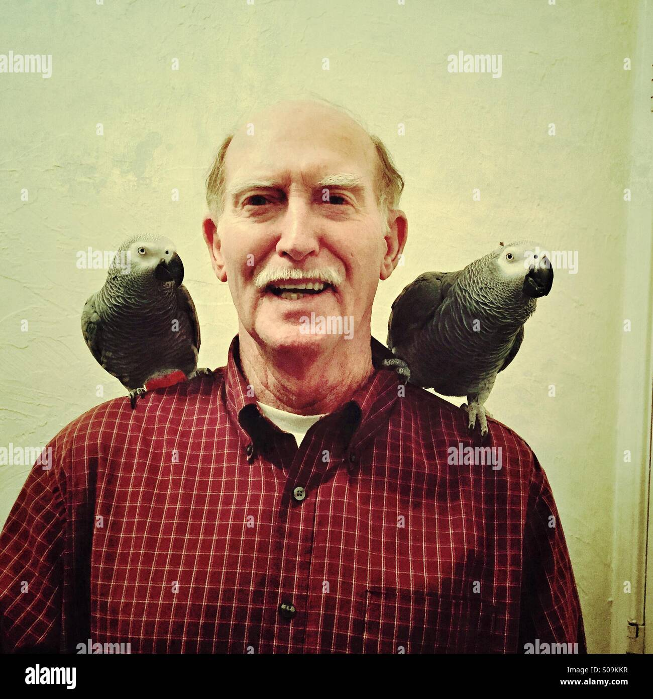 A senior Caucasian man smiles while showing off his two pet African Gray parrots on his shoulders. - Stock Image
