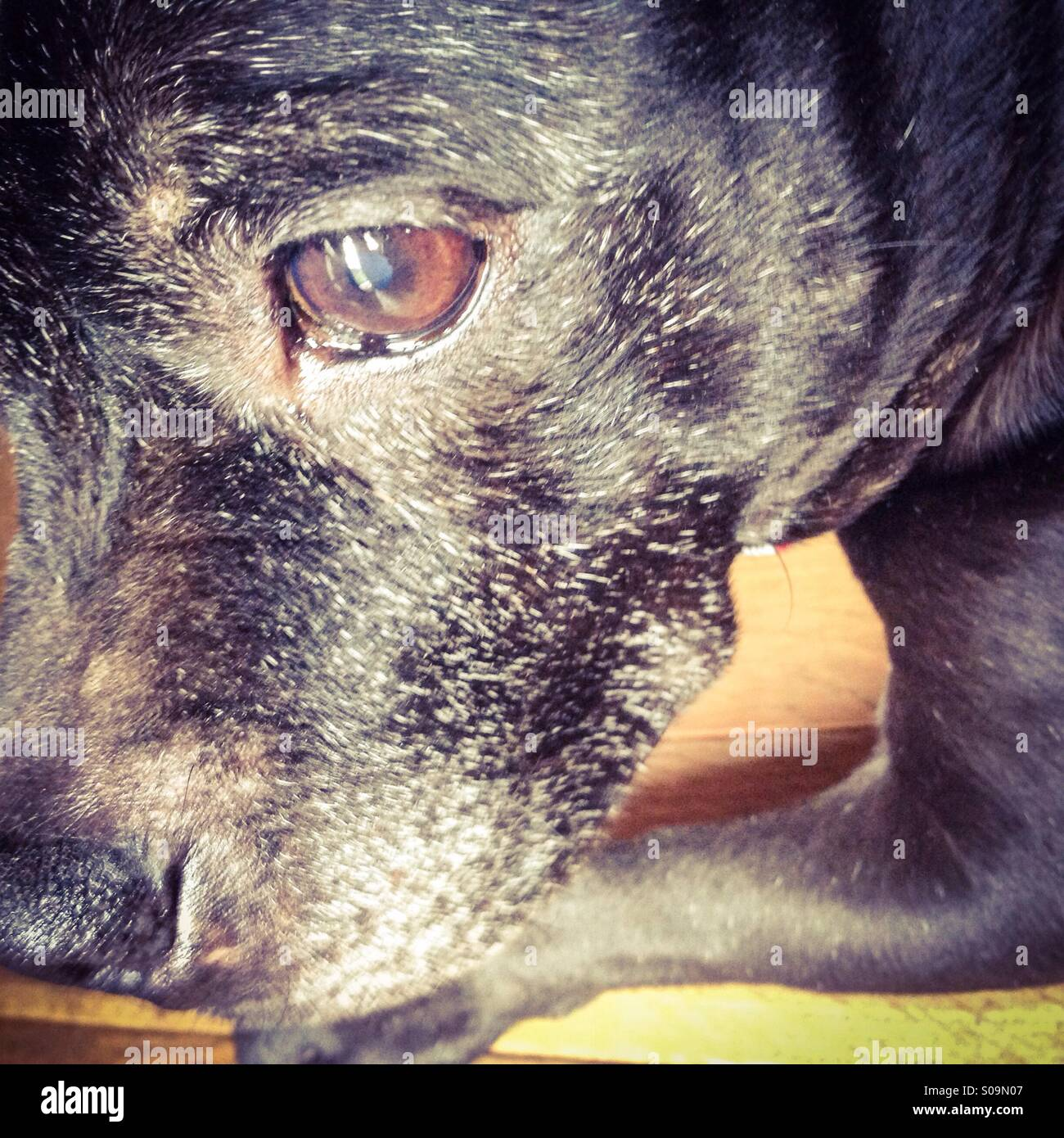 Eye of a Staffordshire Bull Terrier - Stock Image