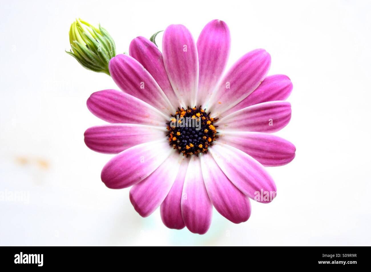 Violett flower in white Background - Stock Image