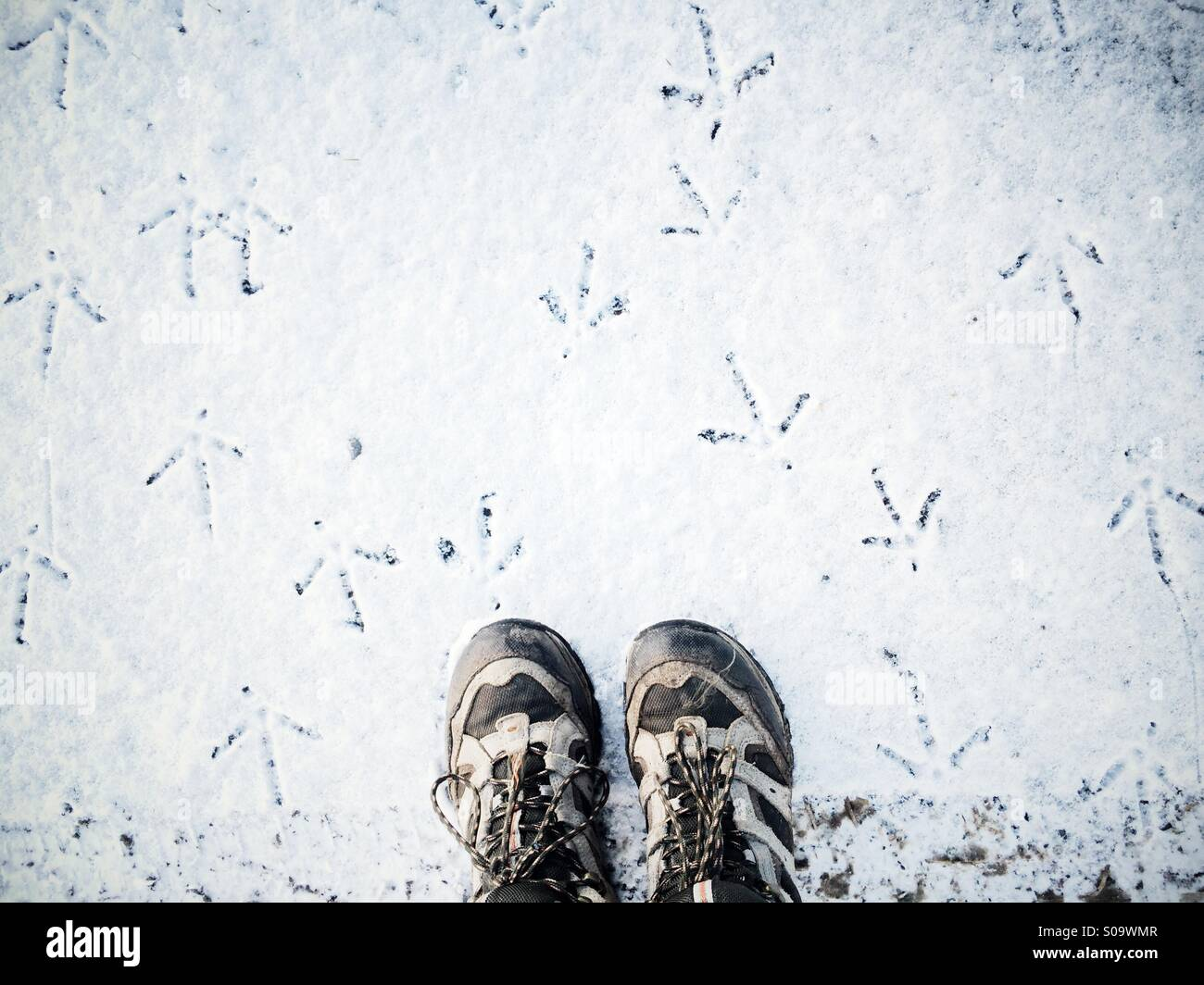 Looking down at hiking boots in the snow with pheasant tracks in all directions. - Stock Image