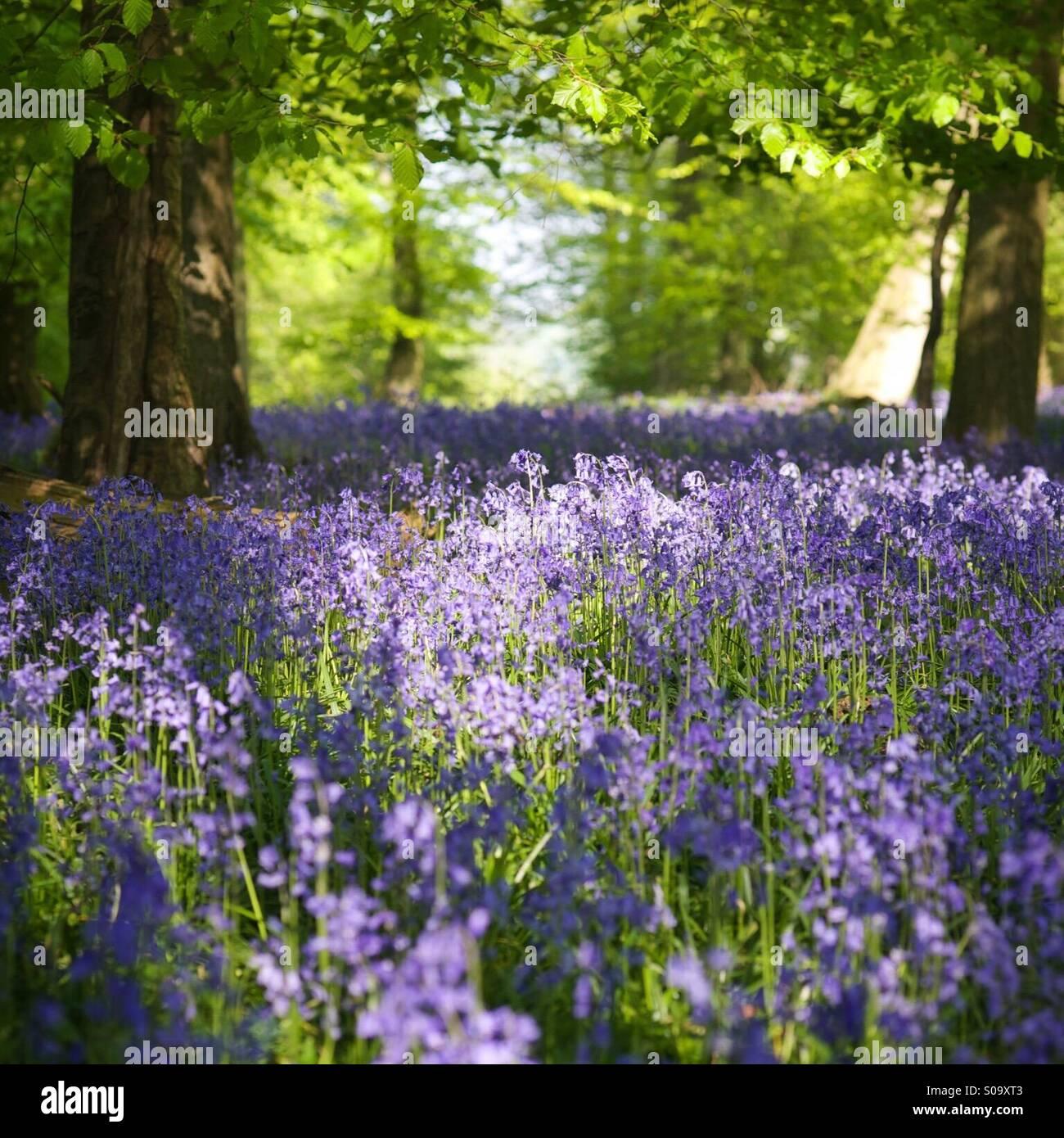 Bluebell woods, Oxfordshire, England. - Stock Image