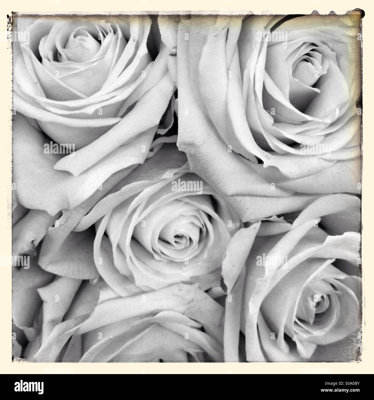 Roses in black and white vintage tones - Stock Image