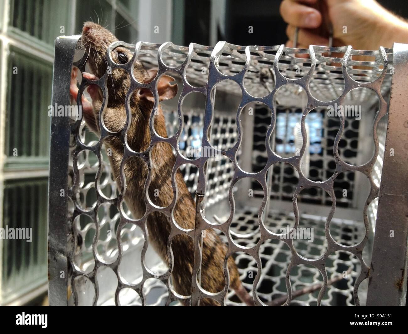 House mouse caught in a humane trap - Stock Image