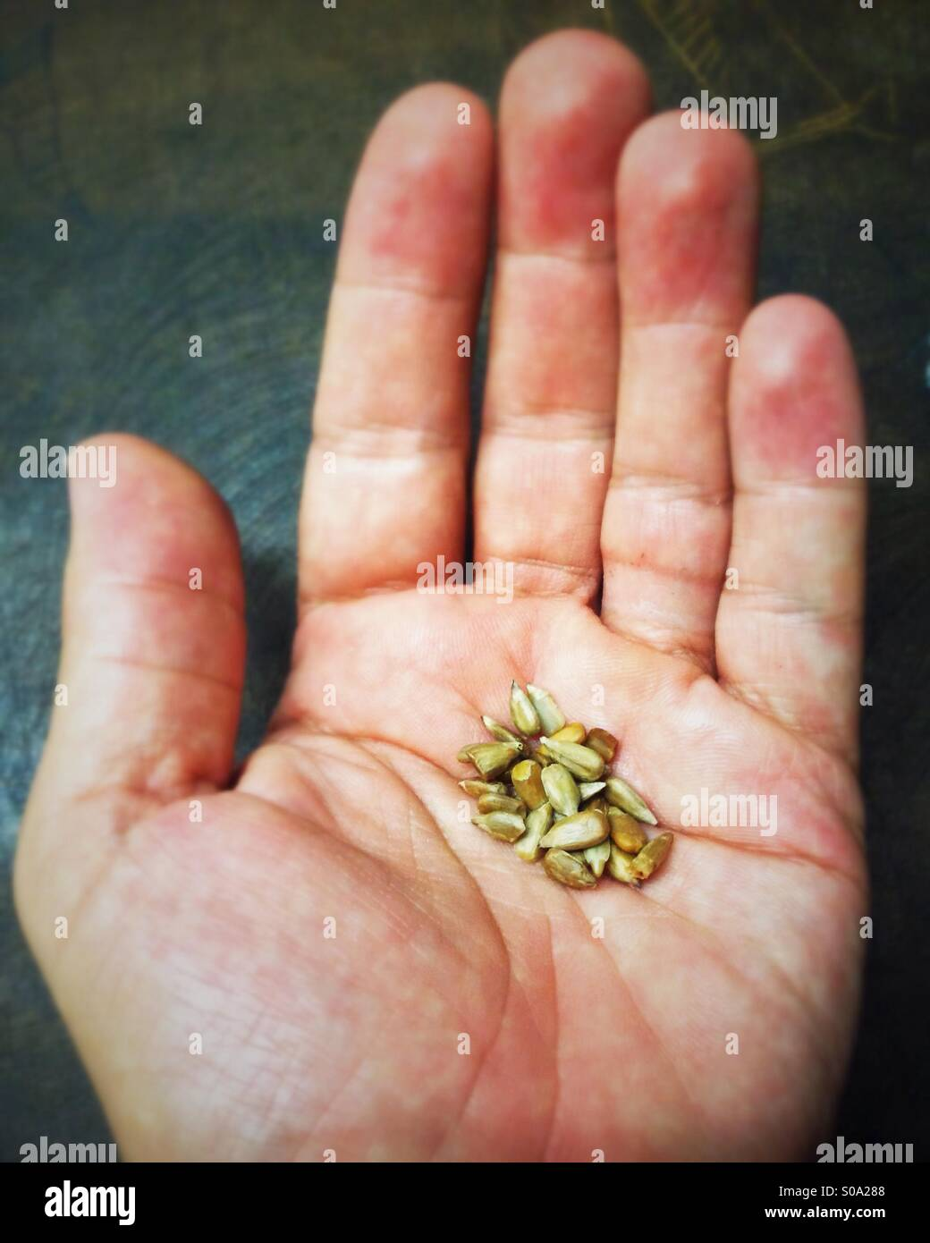 Seeds in a man's hand. - Stock Image