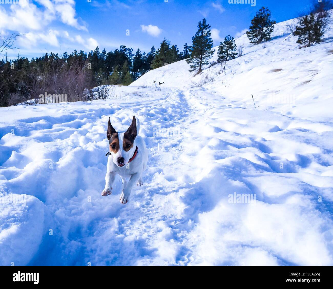 Leaping in the snow. Dog speeding towards the camera with excitement. - Stock Image