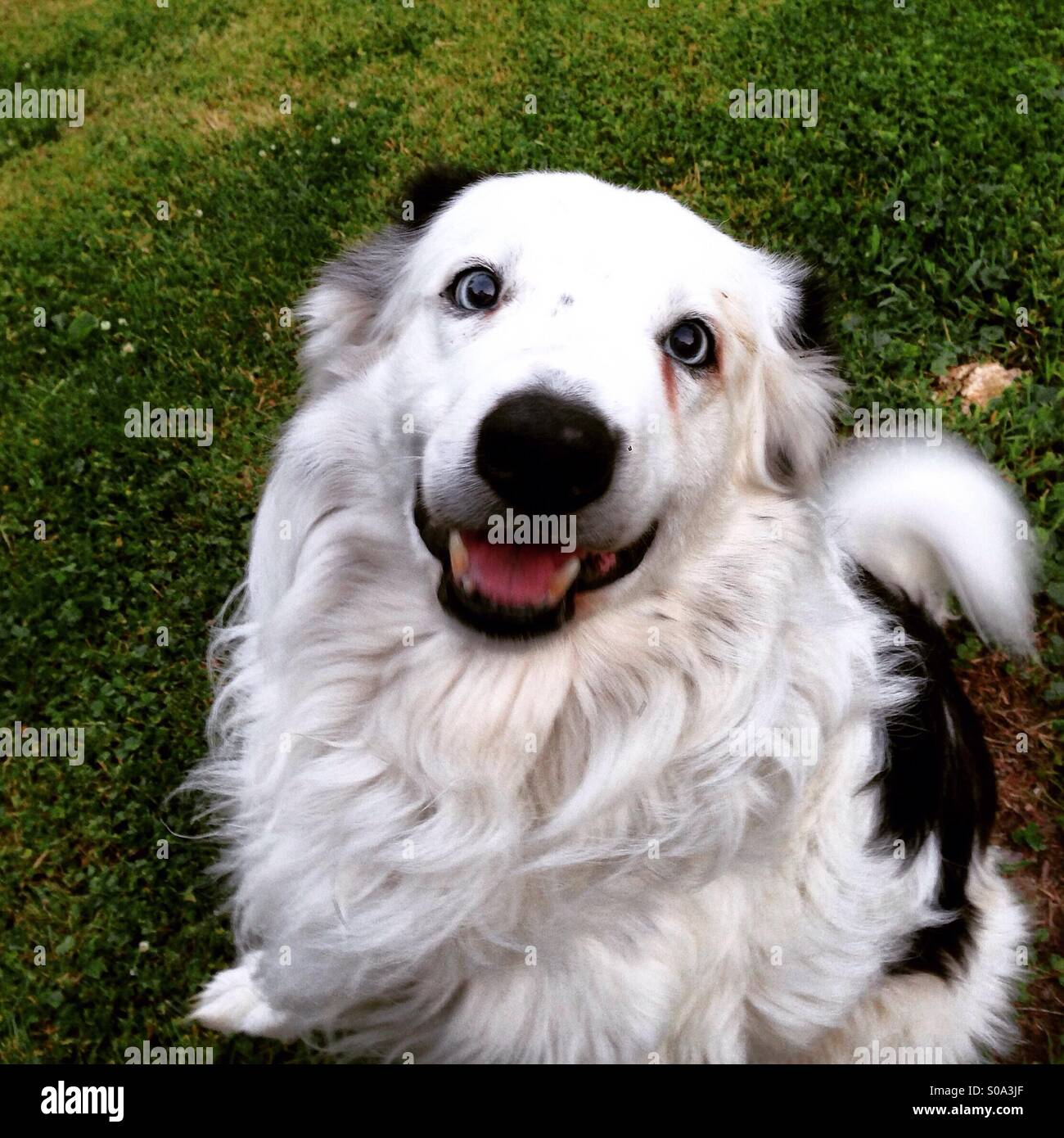 border collie with blue eyes stock photos amp border collie