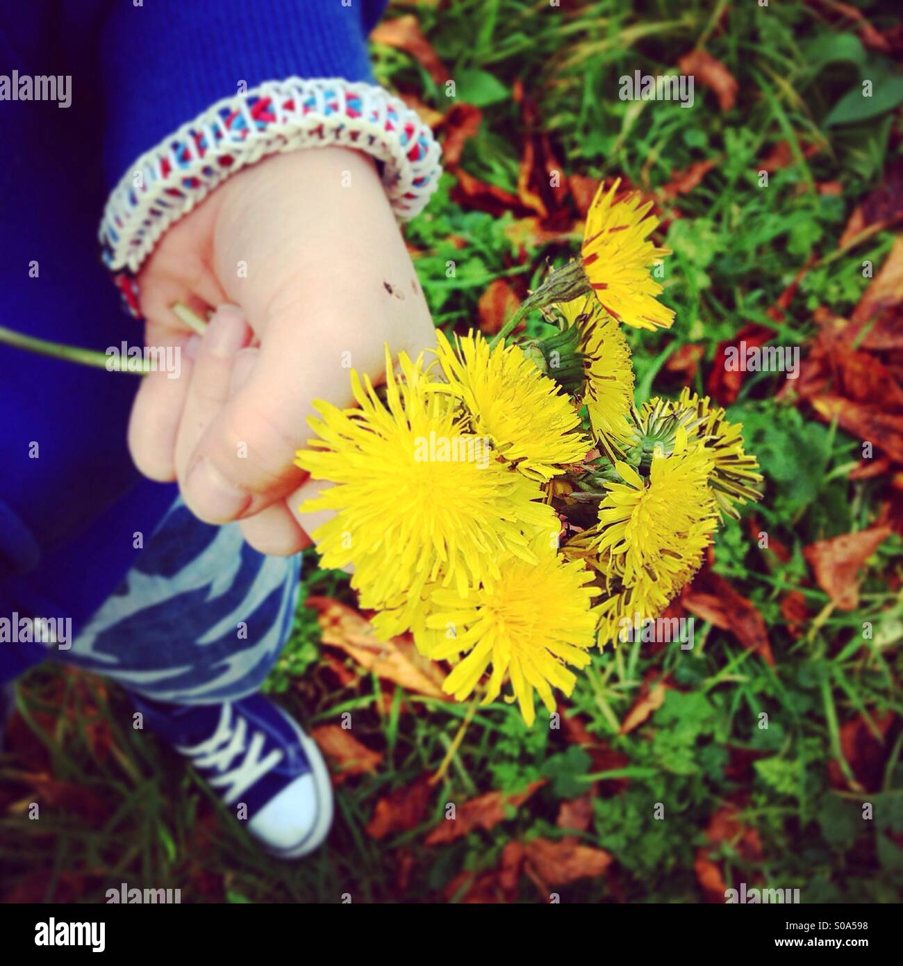 Child holding a bunch of dandelions - Stock Image