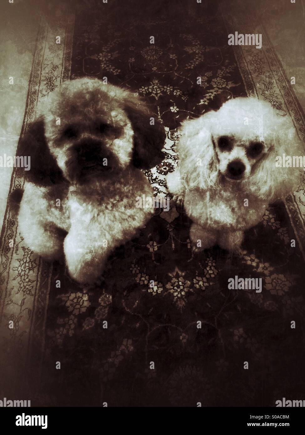 Pair of poodles freshly groomed - Stock Image