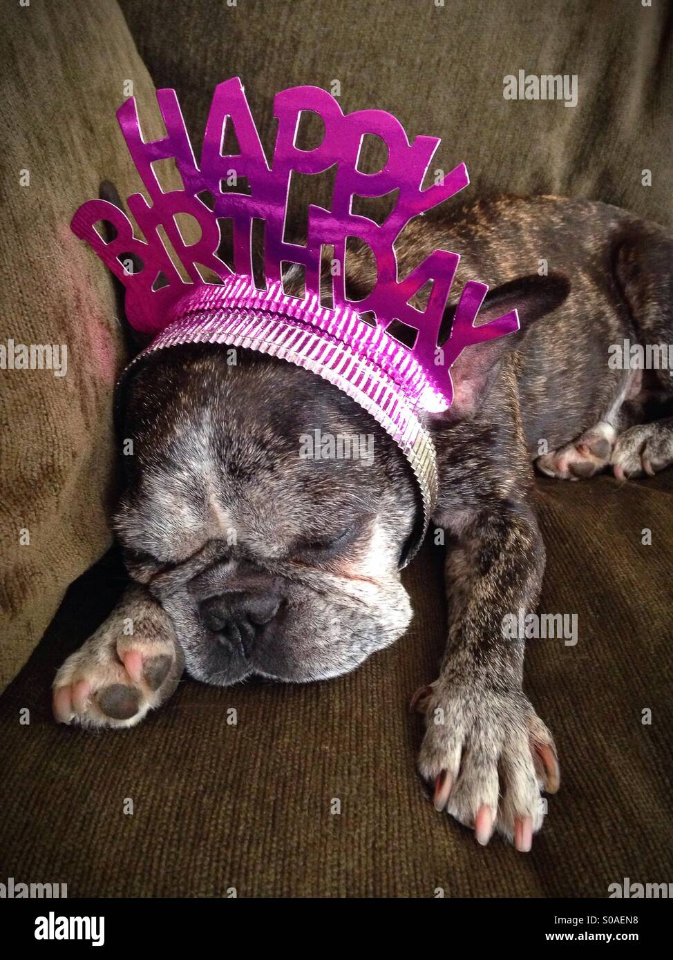 A sleeping french bulldog wearing a happy birthday tiara