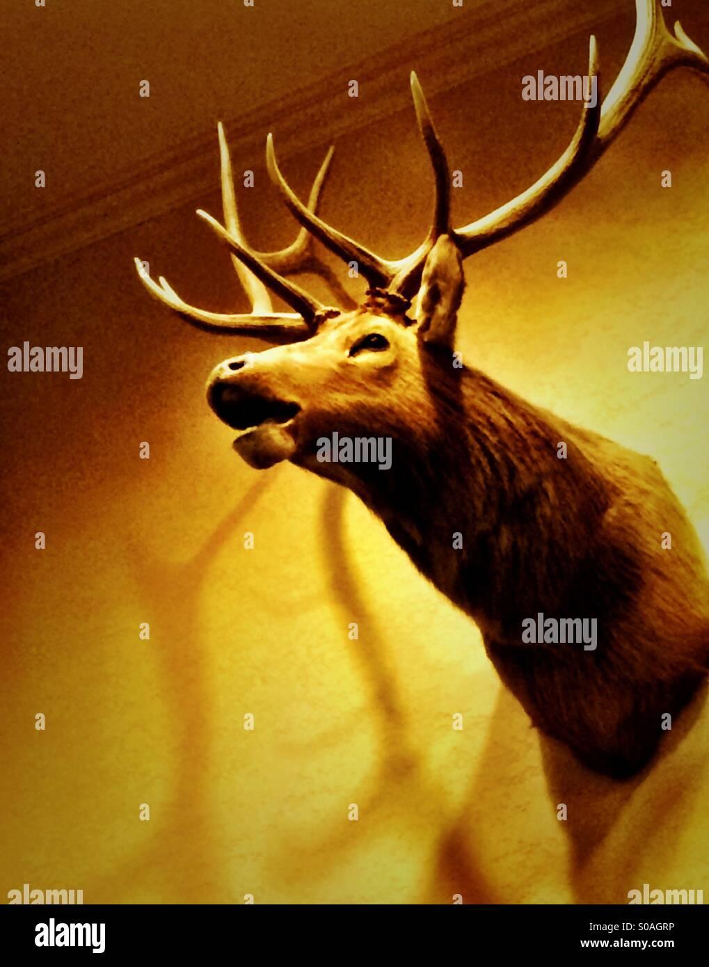 Stuffed stag head on wall Stock Photo: 310019354 - Alamy