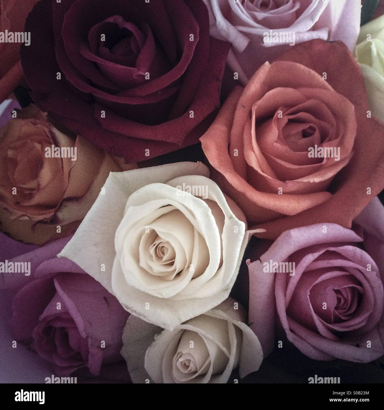 Bouquet of roses, muted tones - Stock Image