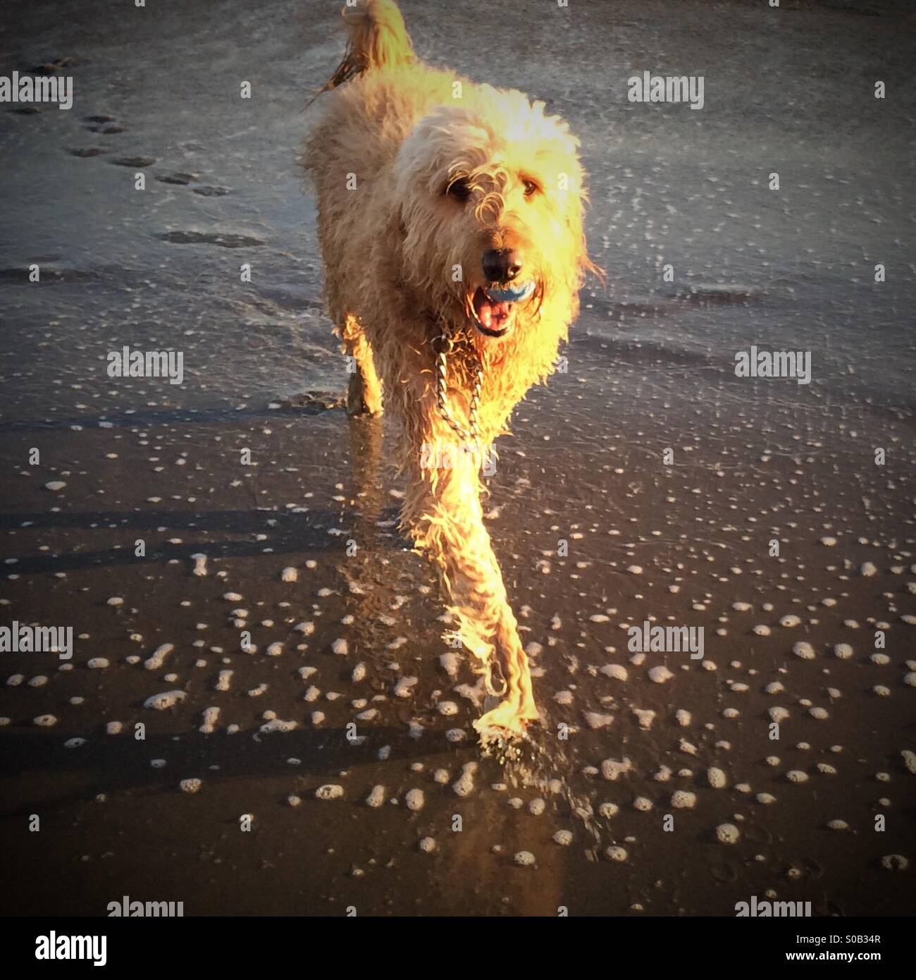 A GoldenDoodle (half Golden Retriever half Poodle) mixed breed dog plays fetch with a ball on the beach at sunset - Stock Image