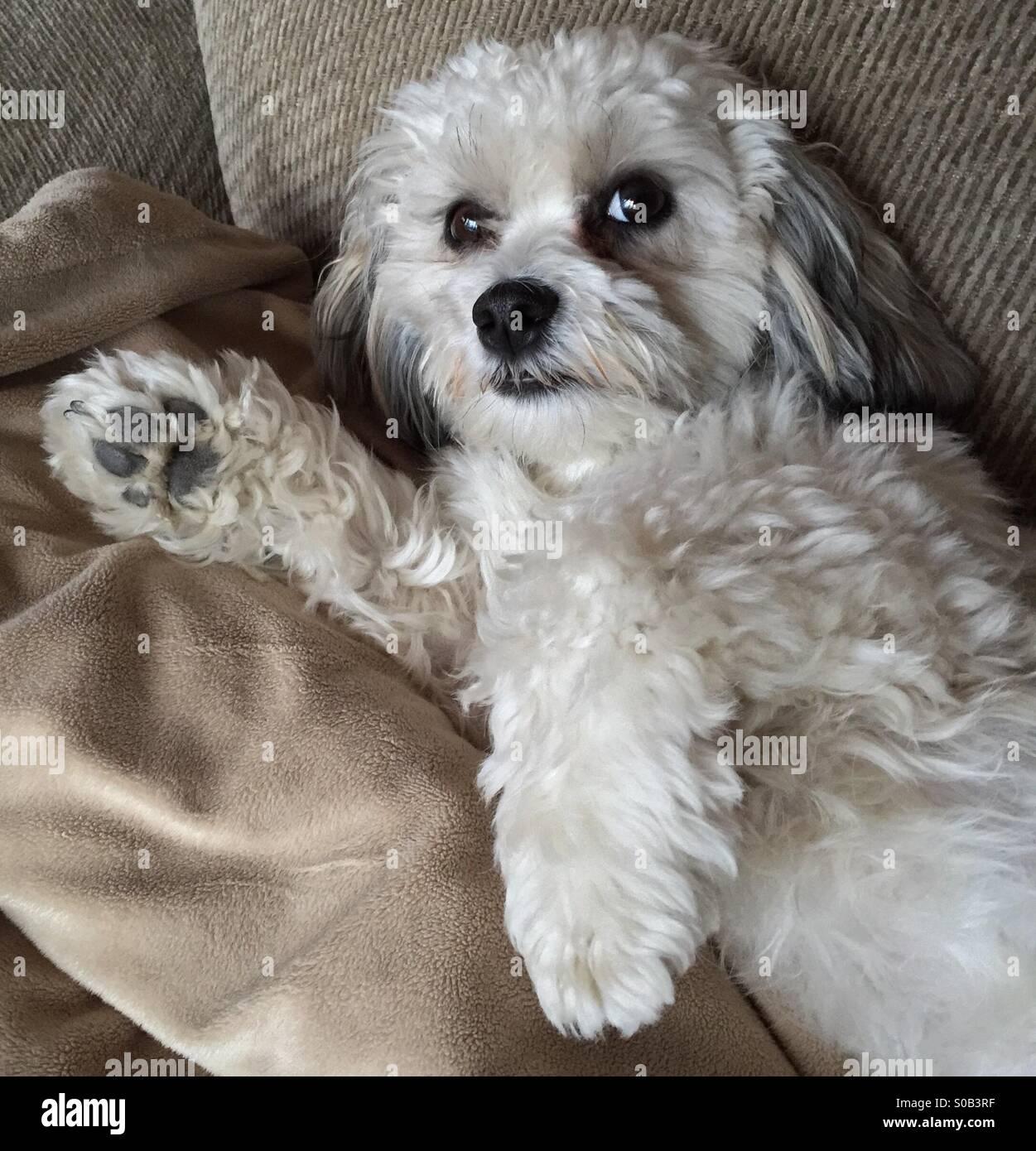 Shih Tzu Bichon Frise Mixed Breed Dog Posing For Photo While