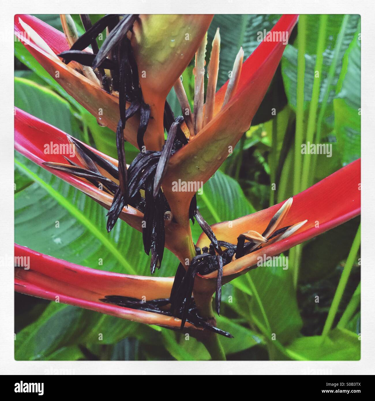 A Heliconia jungle plant - Stock Image