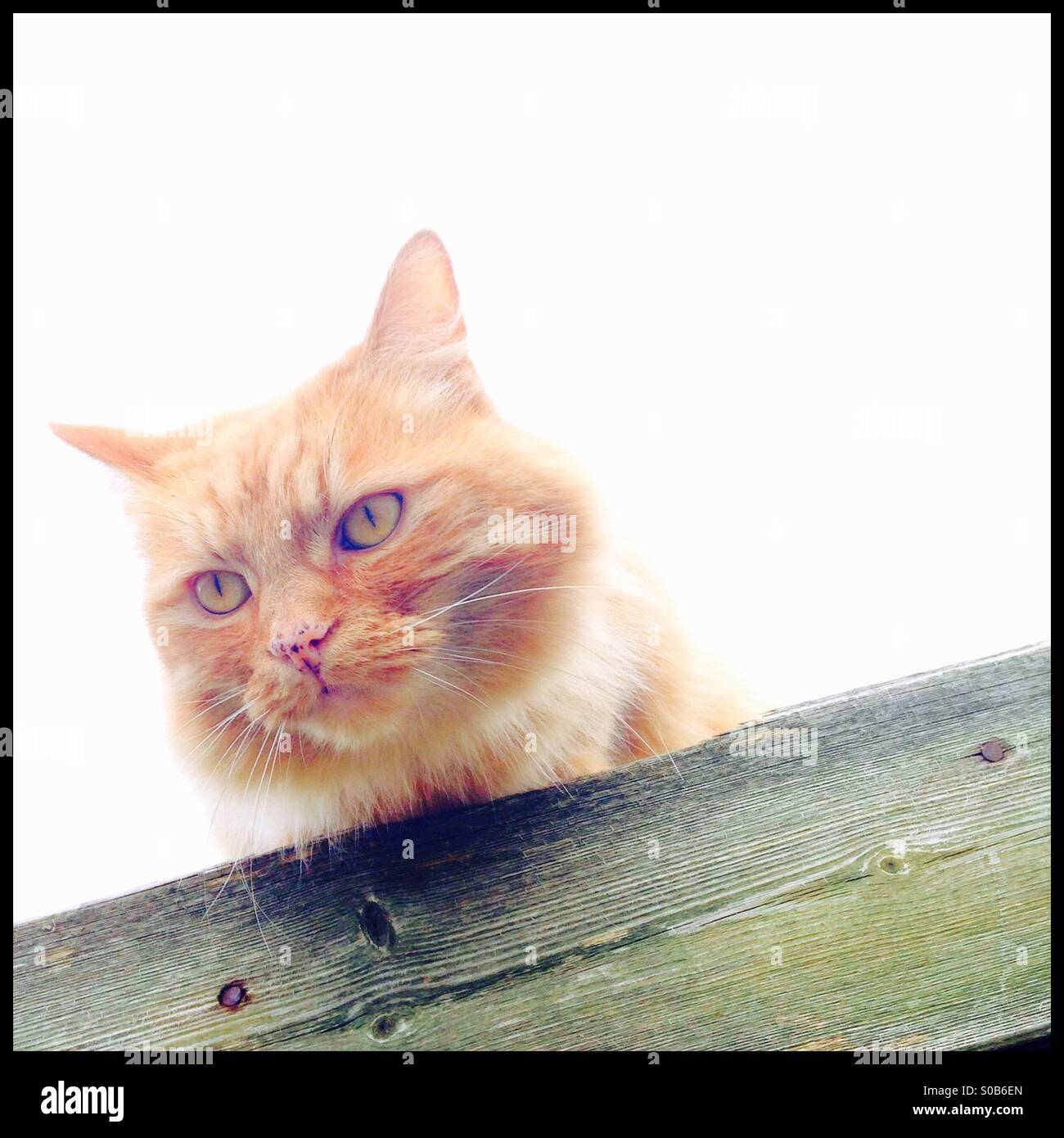Cat peering over the edge of a rooftop - Stock Image