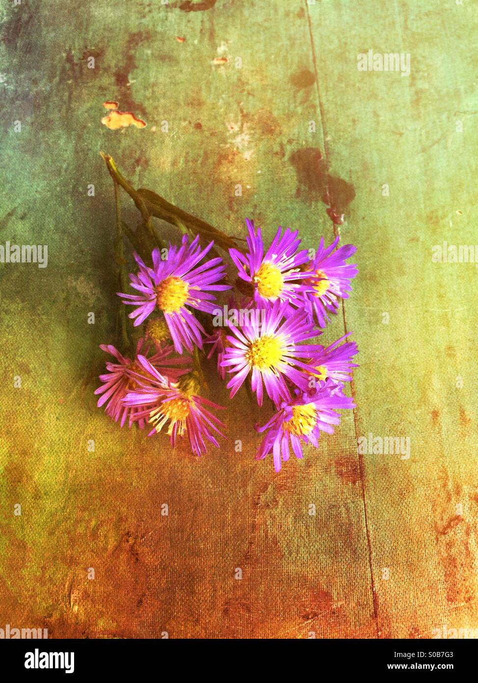 Purple Gerbera flowers on a grungy background - Stock Image
