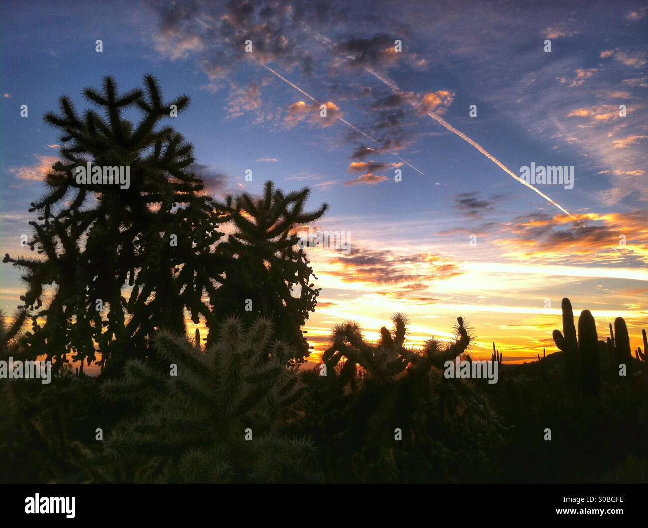 Fruit-chain cholla cactus at sunset. Sonoran desert of Arizona. USA - Stock Image