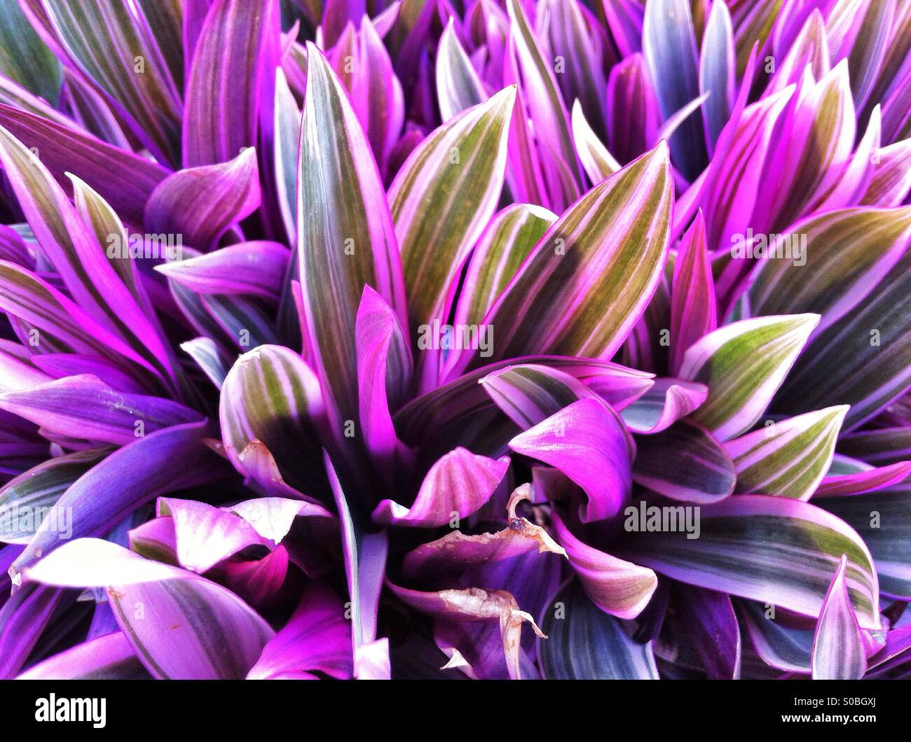 Purple Leaves If Tropical Tradescantia Plant In Hawaii Stock Photo
