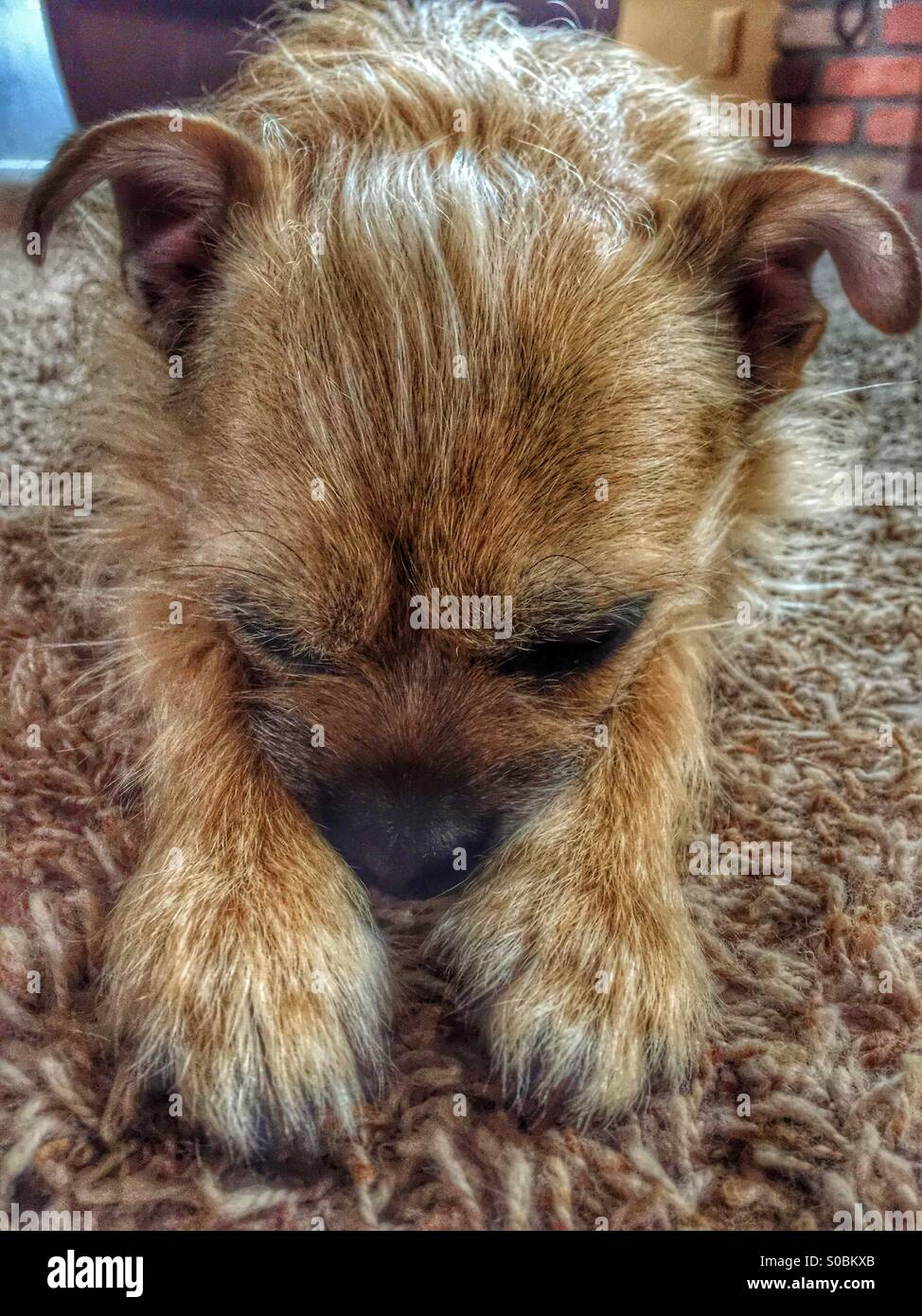 Super cute border terrier chihuahua mix resting on carpet. Phoenix, Arizona  USA - Stock Image