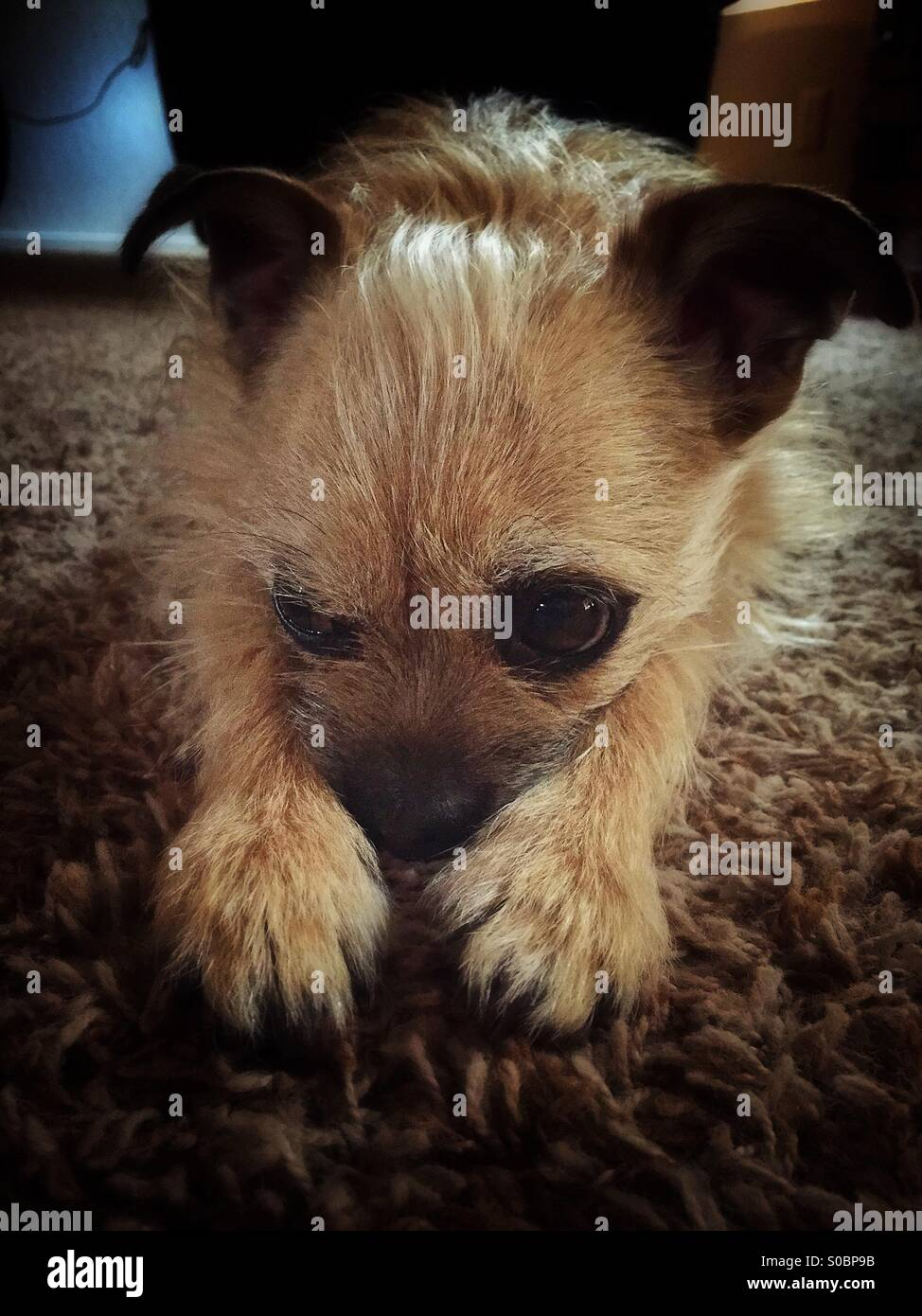 Super cute Border Terrier Chihuahua mix eying something of interest. Arizona. USA - Stock Image