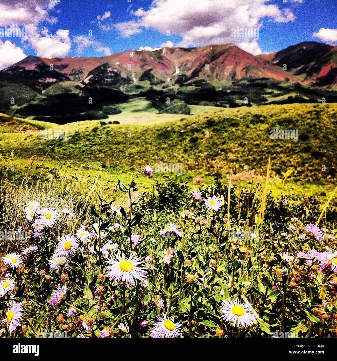 Crested Butte wild flowers, Colorado - Stock Image